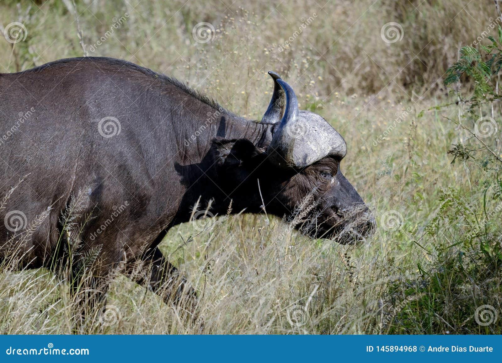 在狂放的非洲水牛