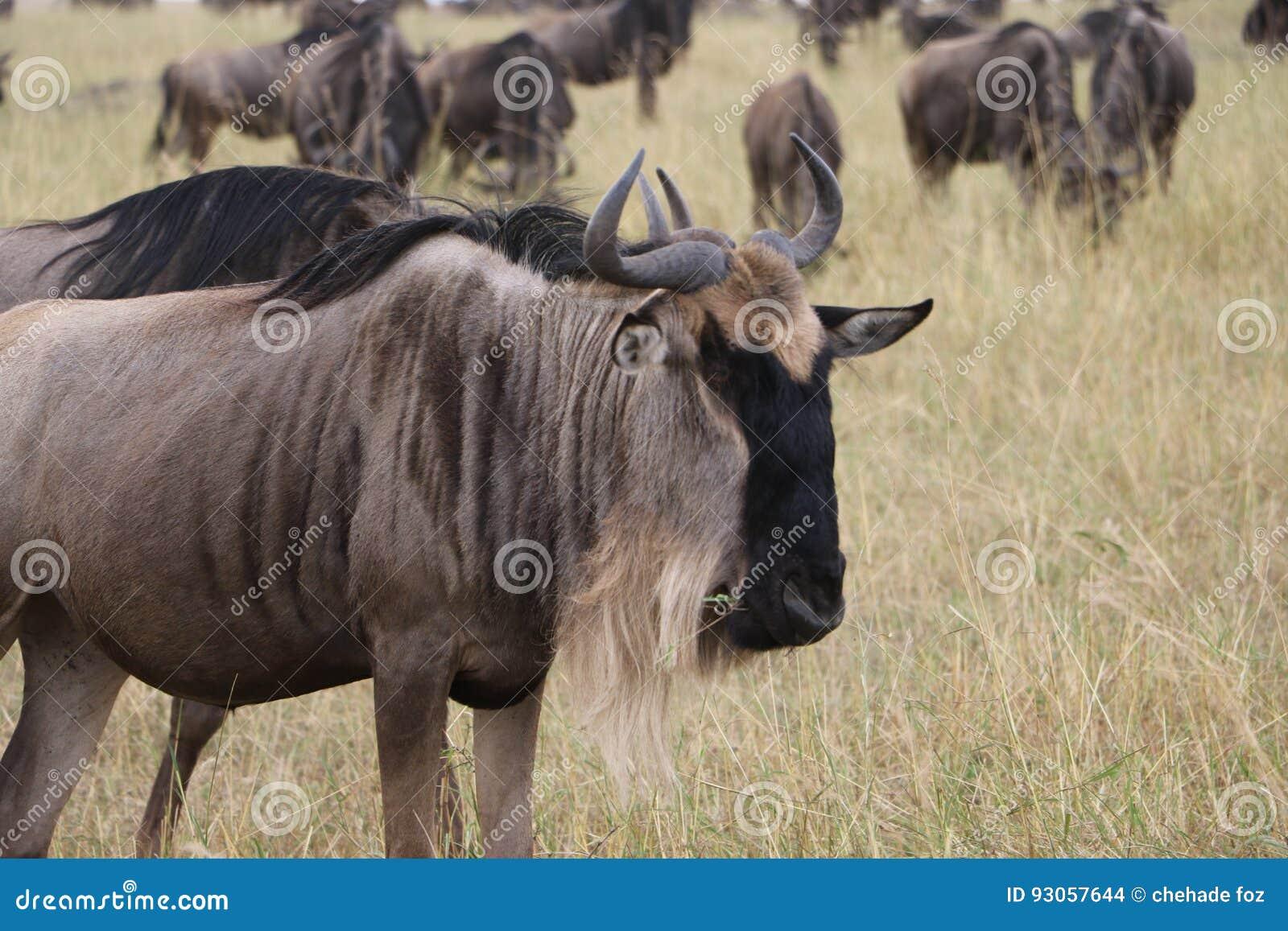 在狂放的maasai玛拉的角马