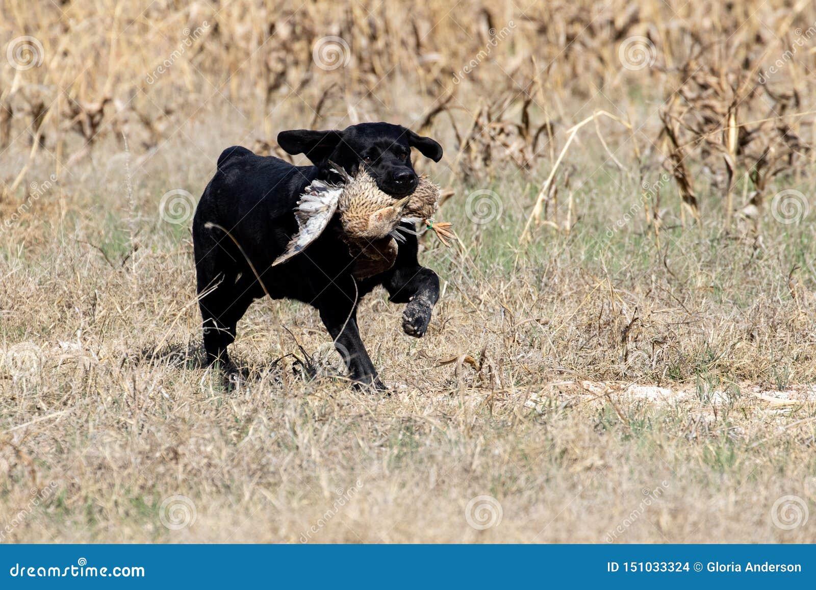 在狩猎测试期间的黑拉布拉多猎犬