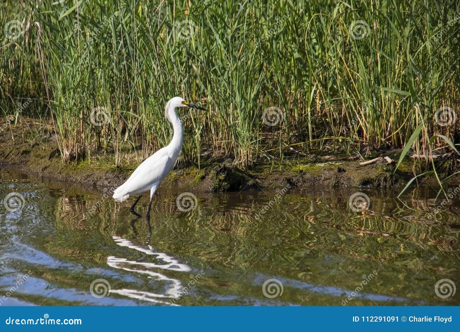 在狩猎的伟大的白色白鹭