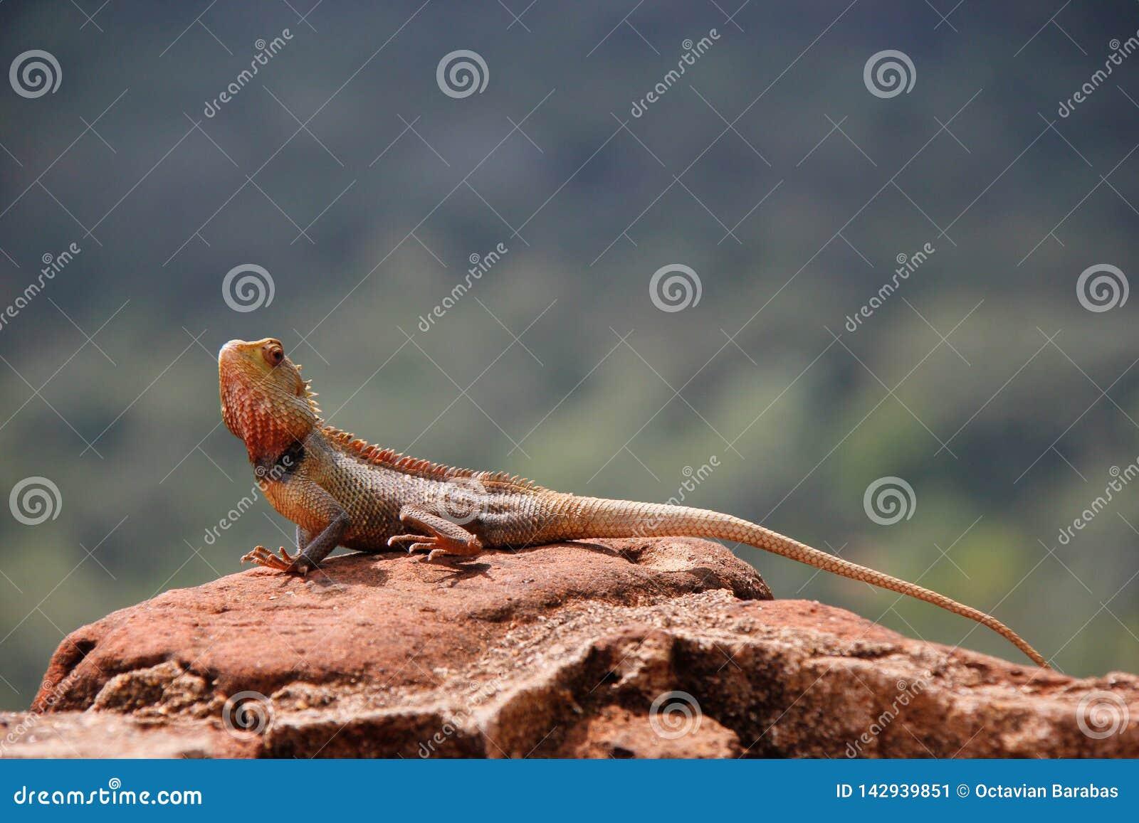 在狮子岩石/斯里兰卡顶部的蜥蜴