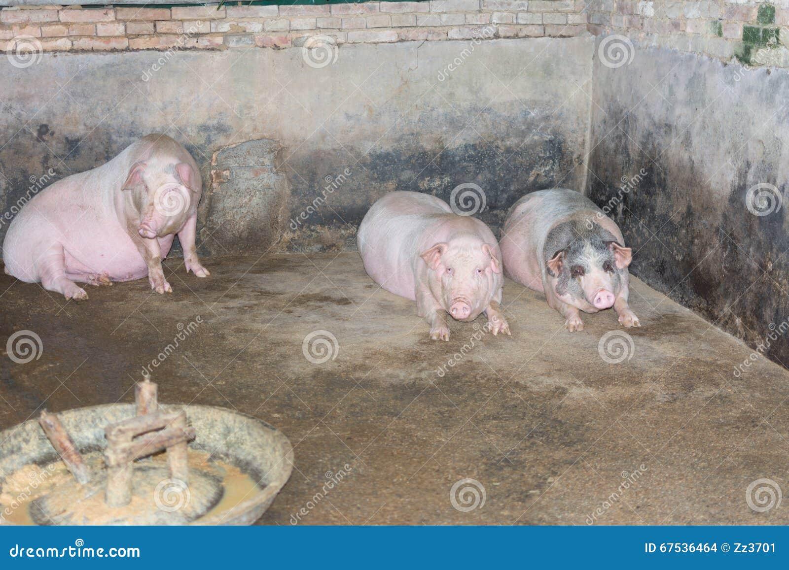 梦见自己住在猪圈旁边被猪咬了一下