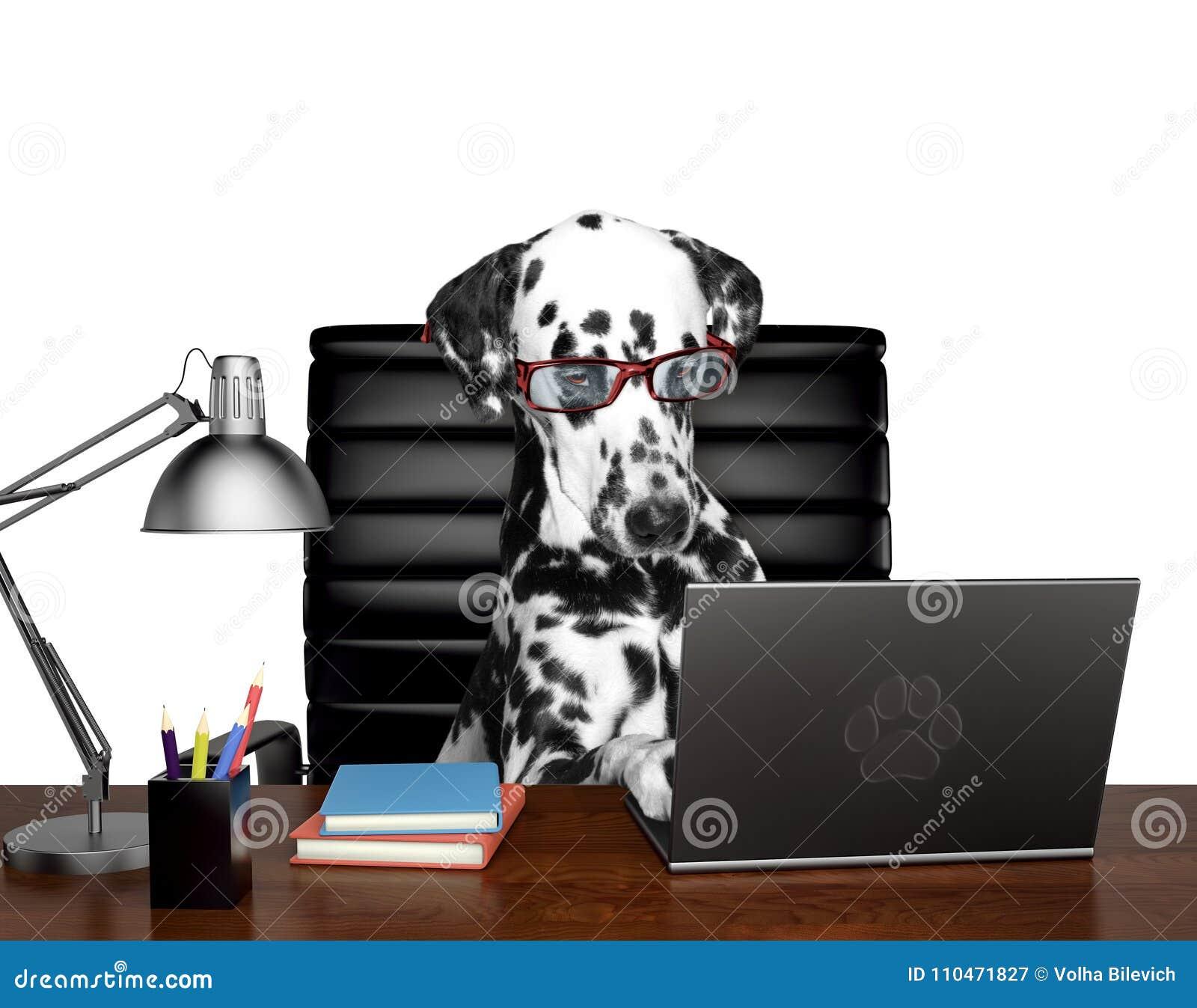 在玻璃的达尔马希亚狗完成在计算机上的一些工作 查出在白色