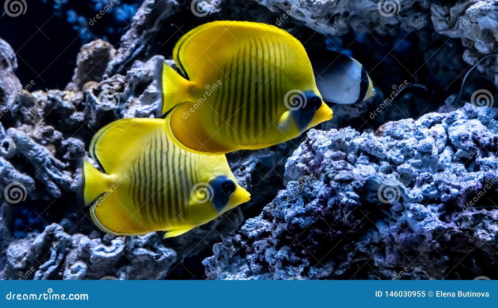 在珊瑚背景的明亮的黄色鱼水中在红海