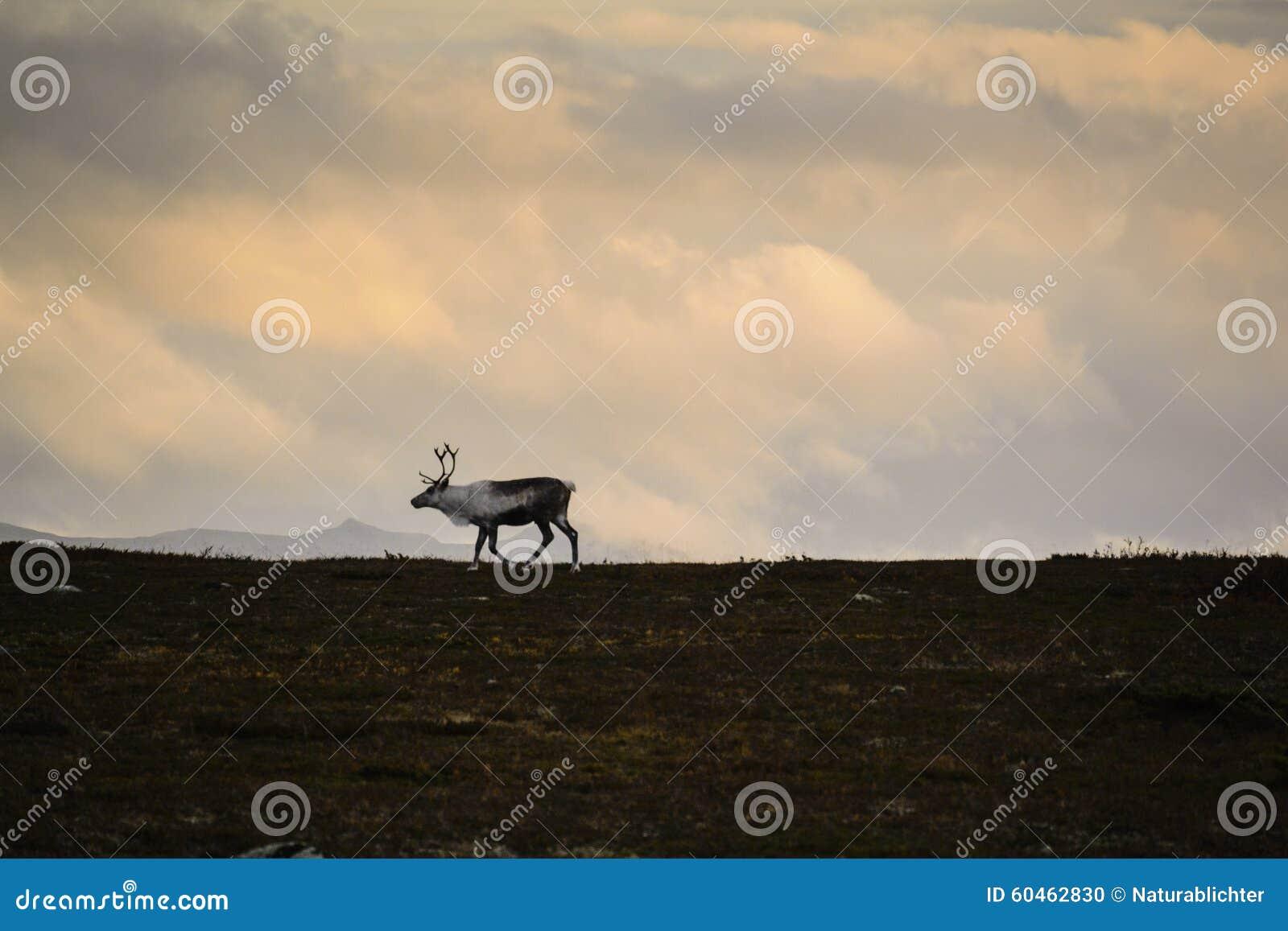 在瑞典寒带草原的孤立驯鹿
