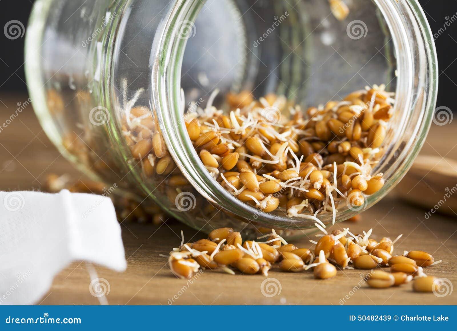 在瓶子的发芽的麦子
