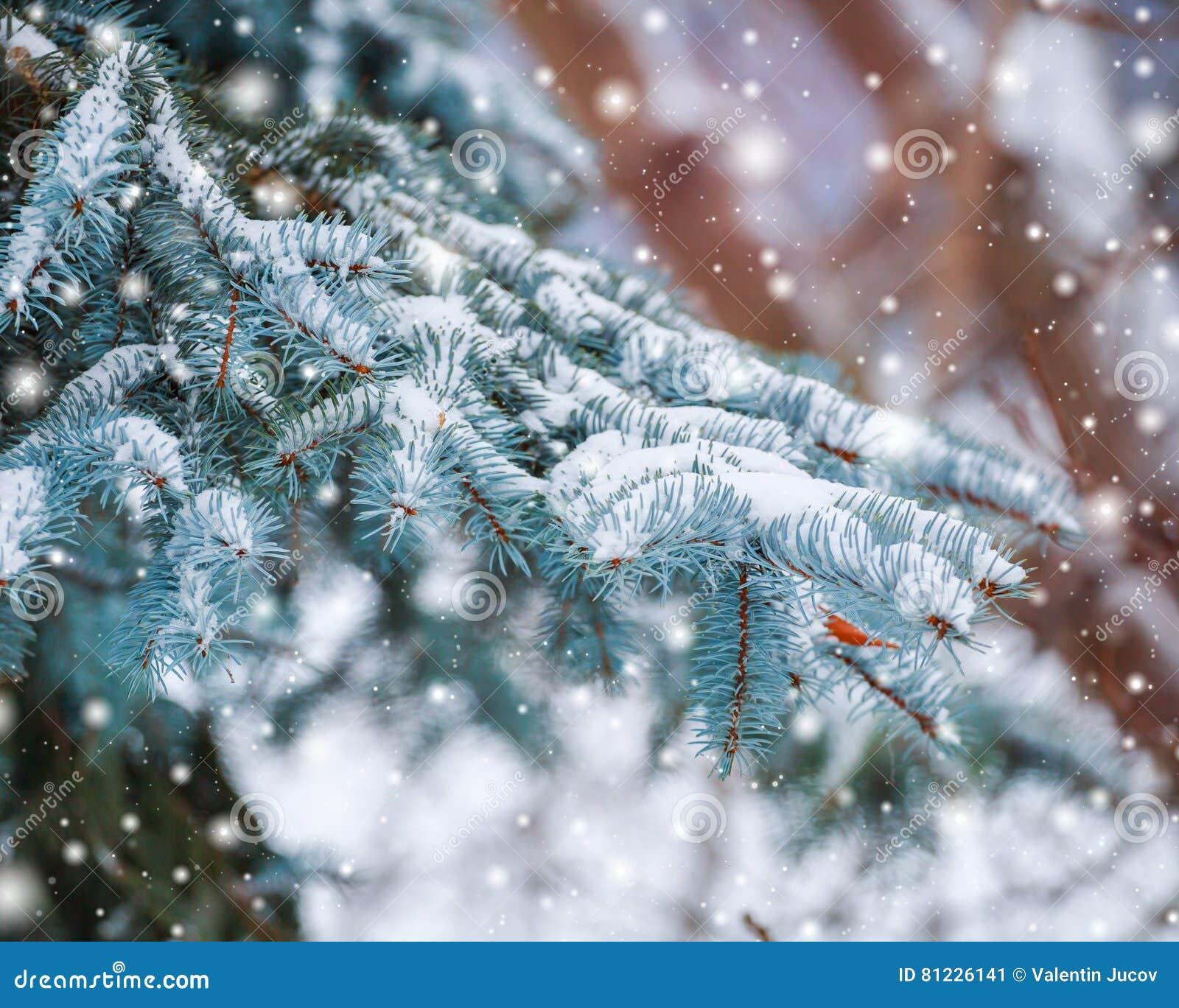 在用在冷的冬天天气的雪报道的多雪的森林杉木分支的冷淡的冬天风景 与冷杉的圣诞节背景