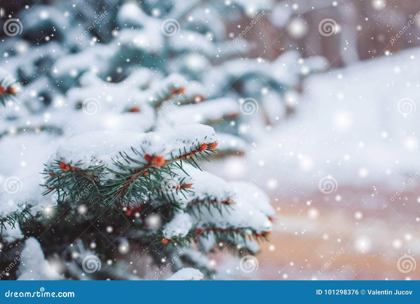 在用在冷的冬天天气的雪报道的多雪的森林杉木分支的冷淡的冬天风景