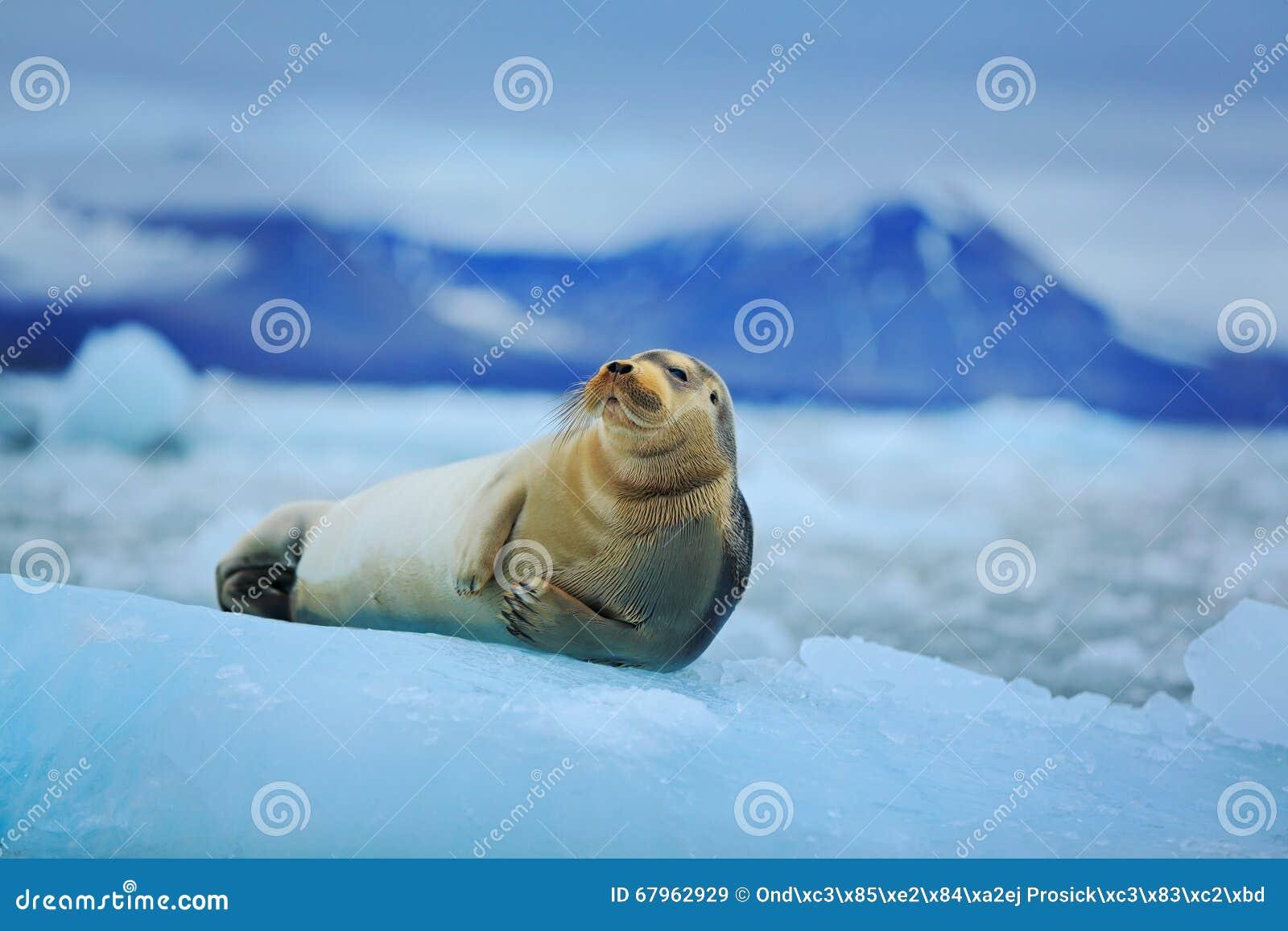 在白色冰的说谎的髯海豹与雪在北极斯瓦尔巴特群岛,黑暗的山在背景中