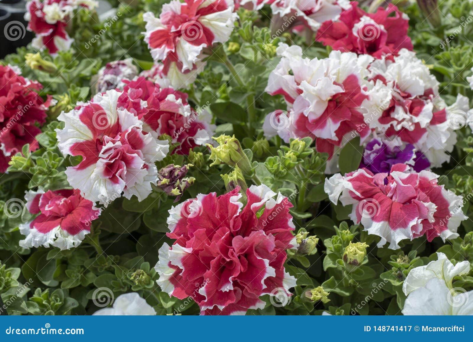 在白色和红色的康乃馨花