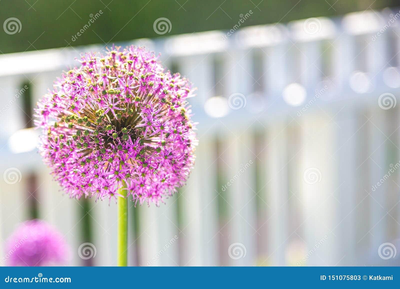 在白色尖桩篱栅前面的大紫色葱属花