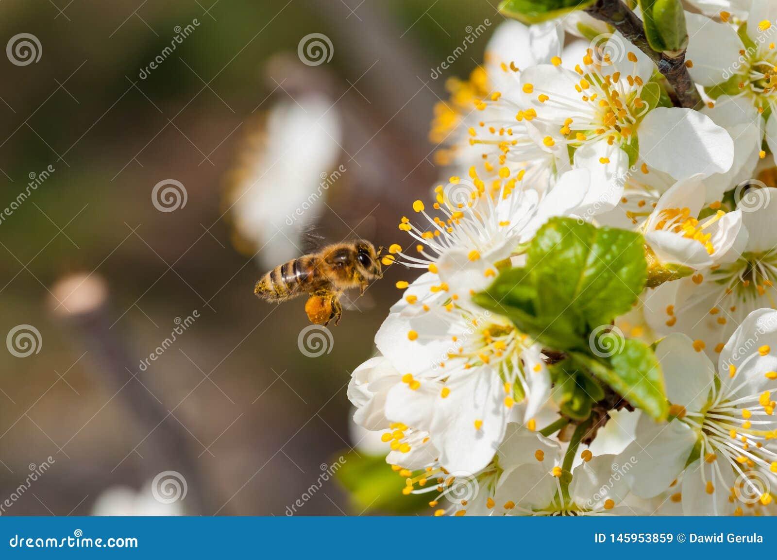 在白色李子花宏指令的蜜蜂