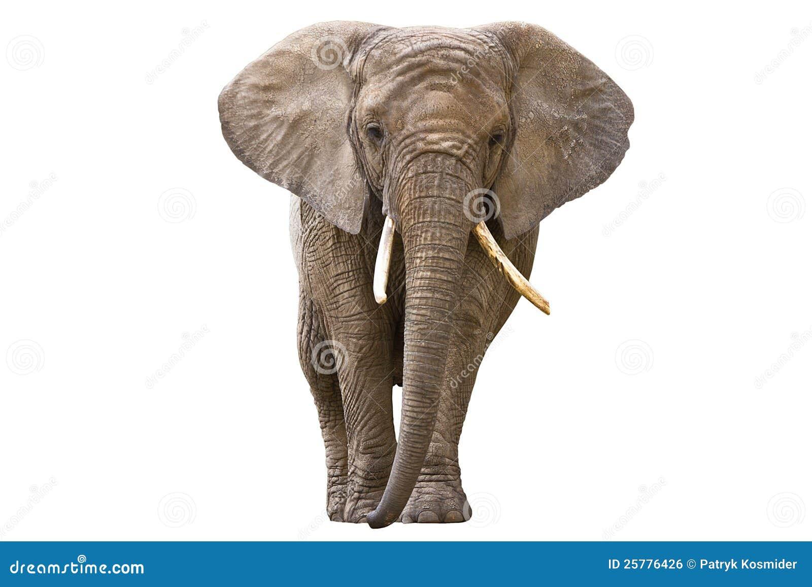 在白色查出的大象