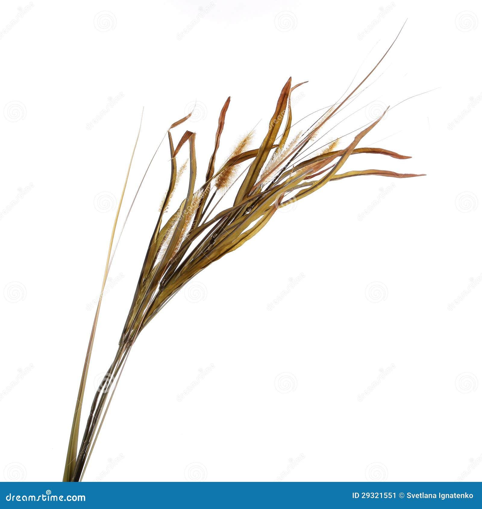 在白色查出的干装饰草丛