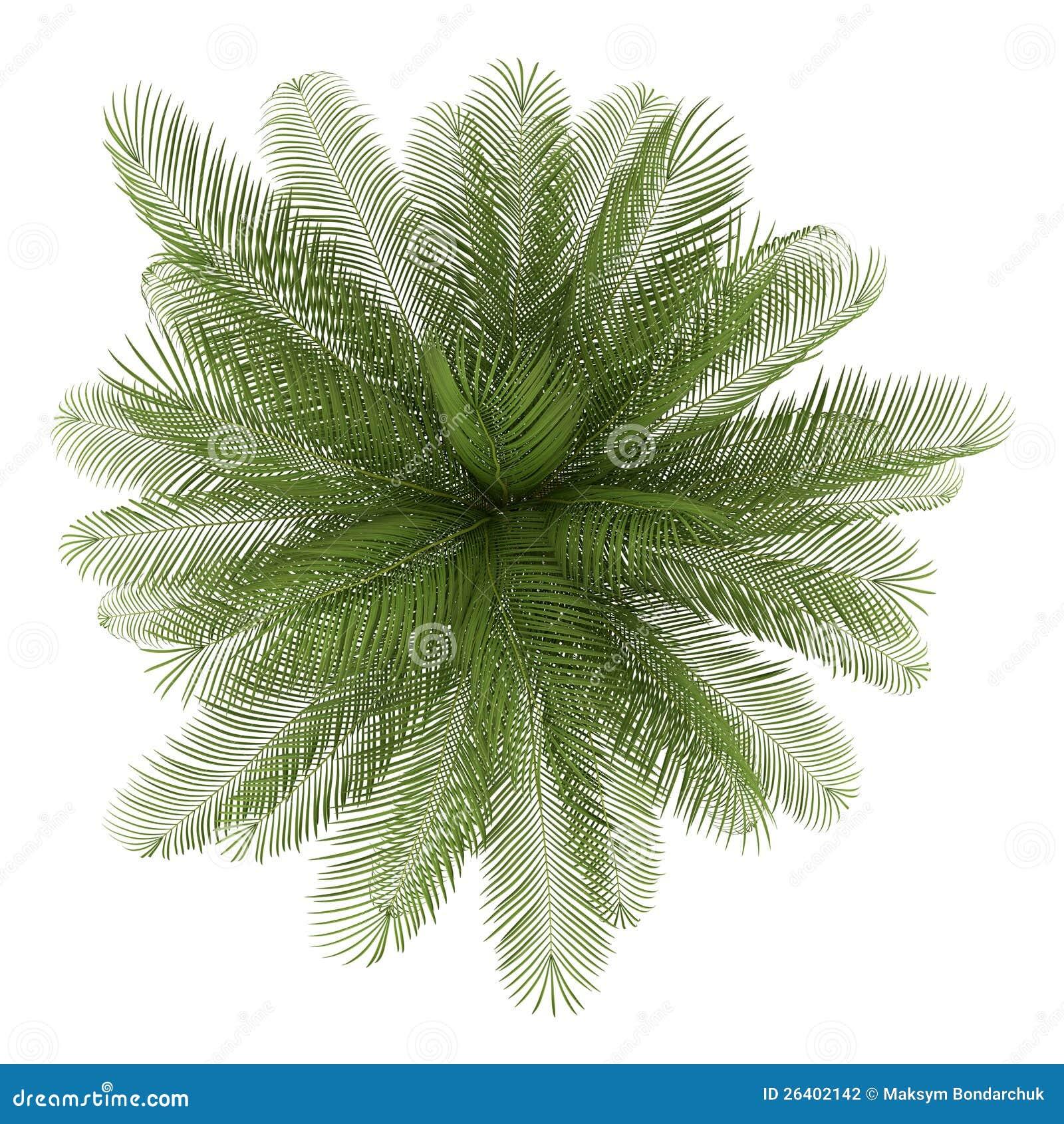 在白色查出的油棕榈树结构树顶视图