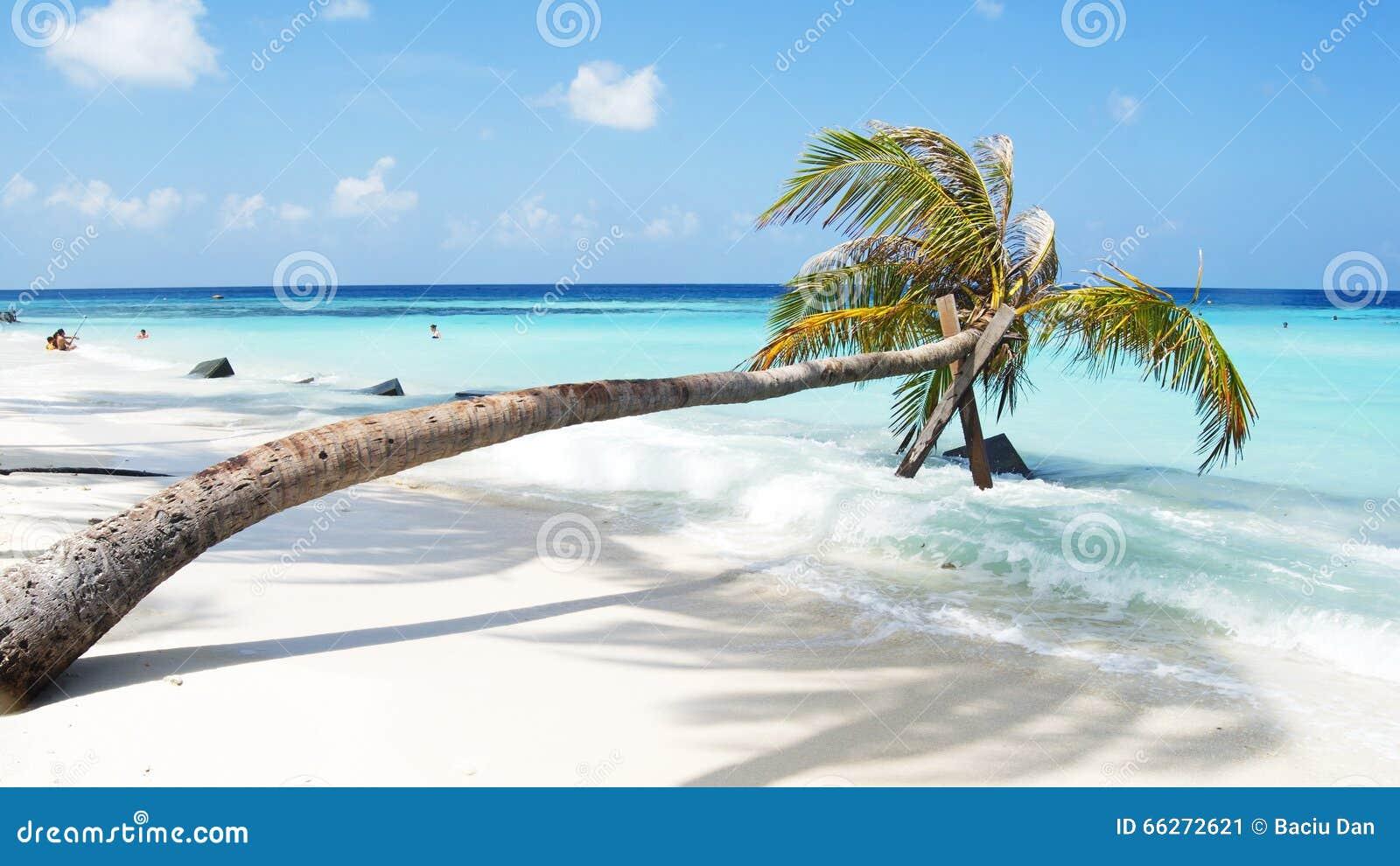 在白色沙子海滩和绿松石cristal水的棕榈树