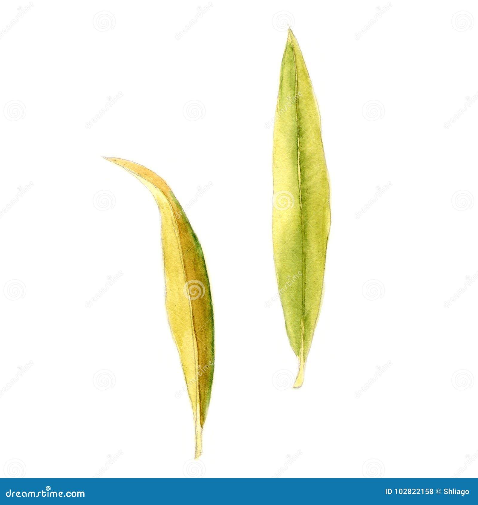 在白色的抽象水彩夹竹桃叶子 能为网页,身分样式,打印,邀请,横幅使用
