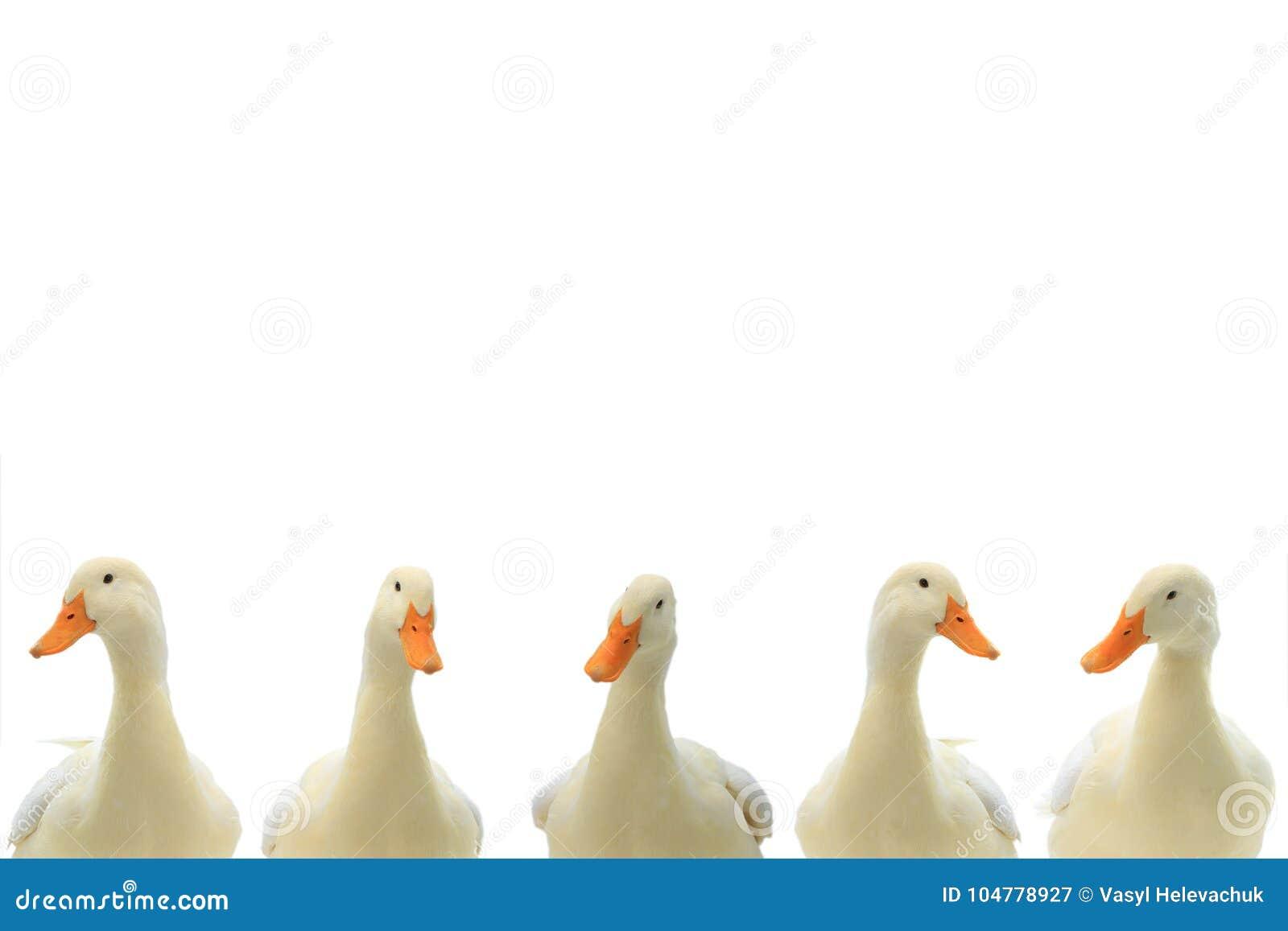 在白色的画象白色鸭子