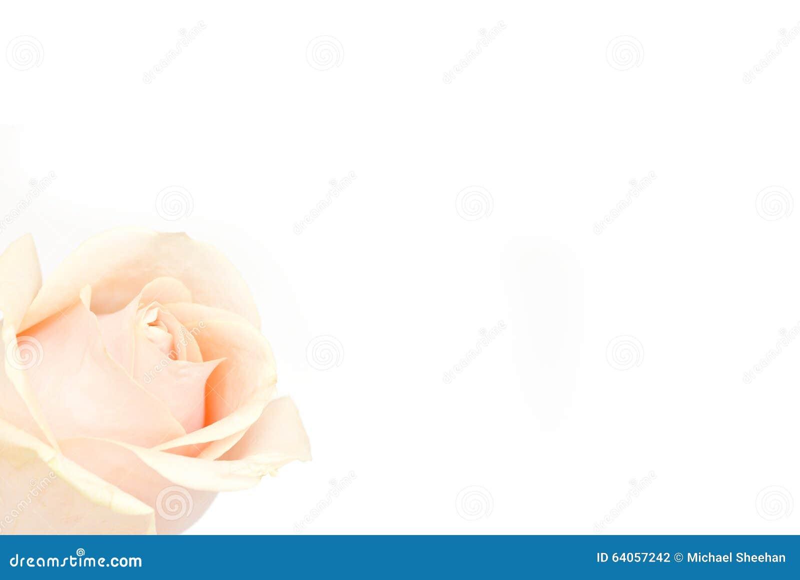 在白色的粉红色玫瑰