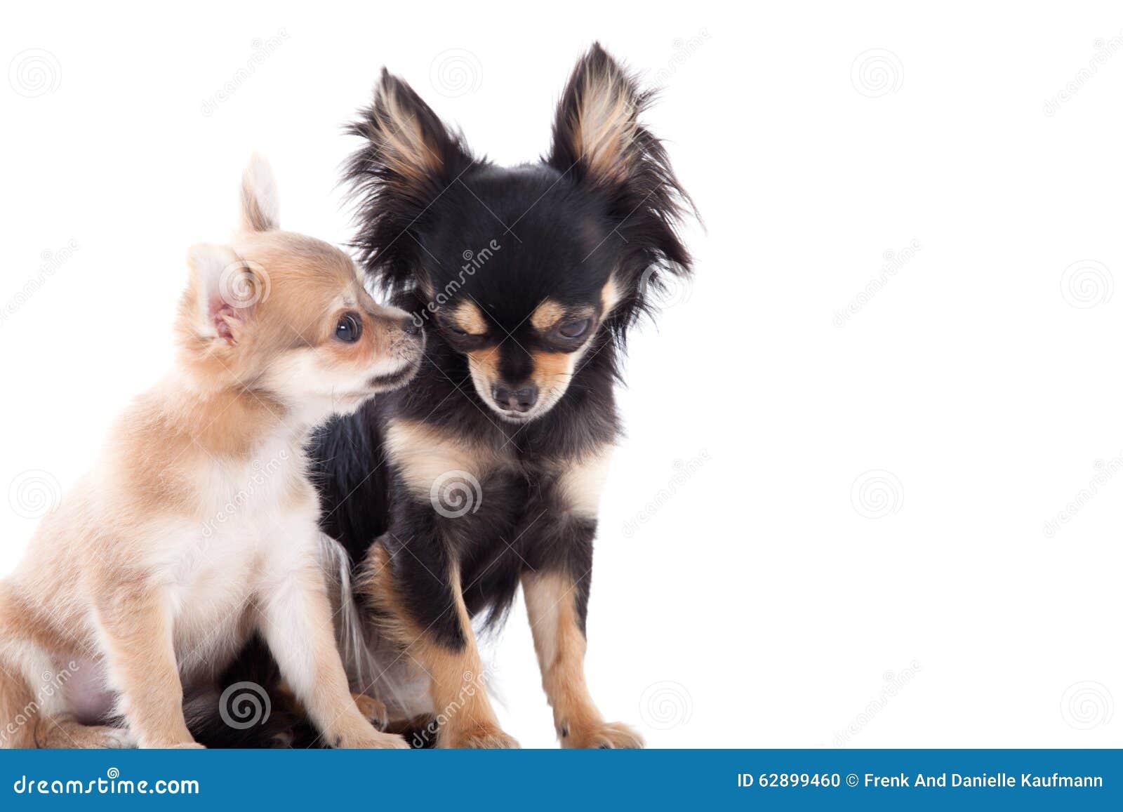 在白色的2条奇瓦瓦狗狗