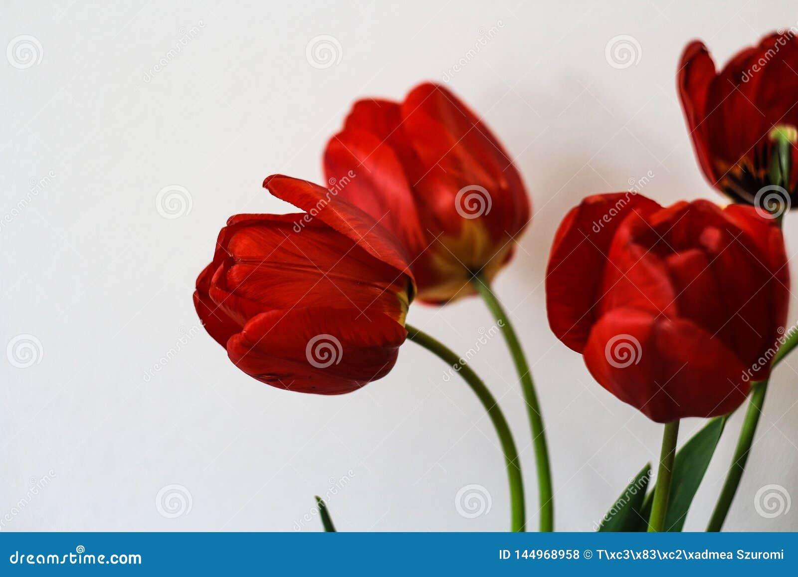 在白色背景前面的红色郁金香boquet