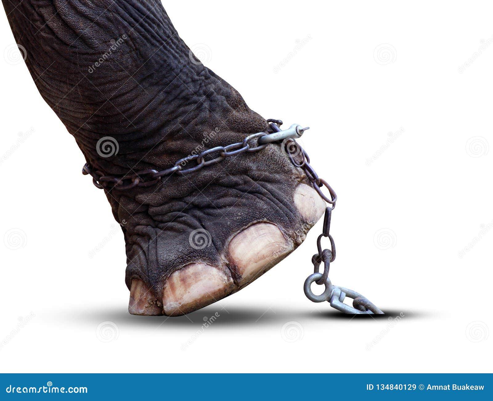 在白色背景和链子隔绝的大象的腿