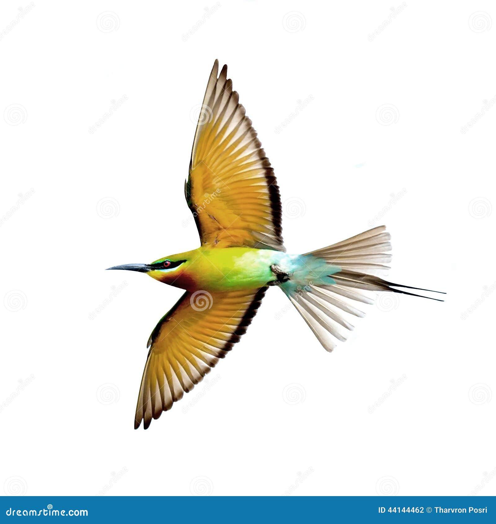 在白色背景在飞行中隔绝的青被盯梢的食蜂鸟.