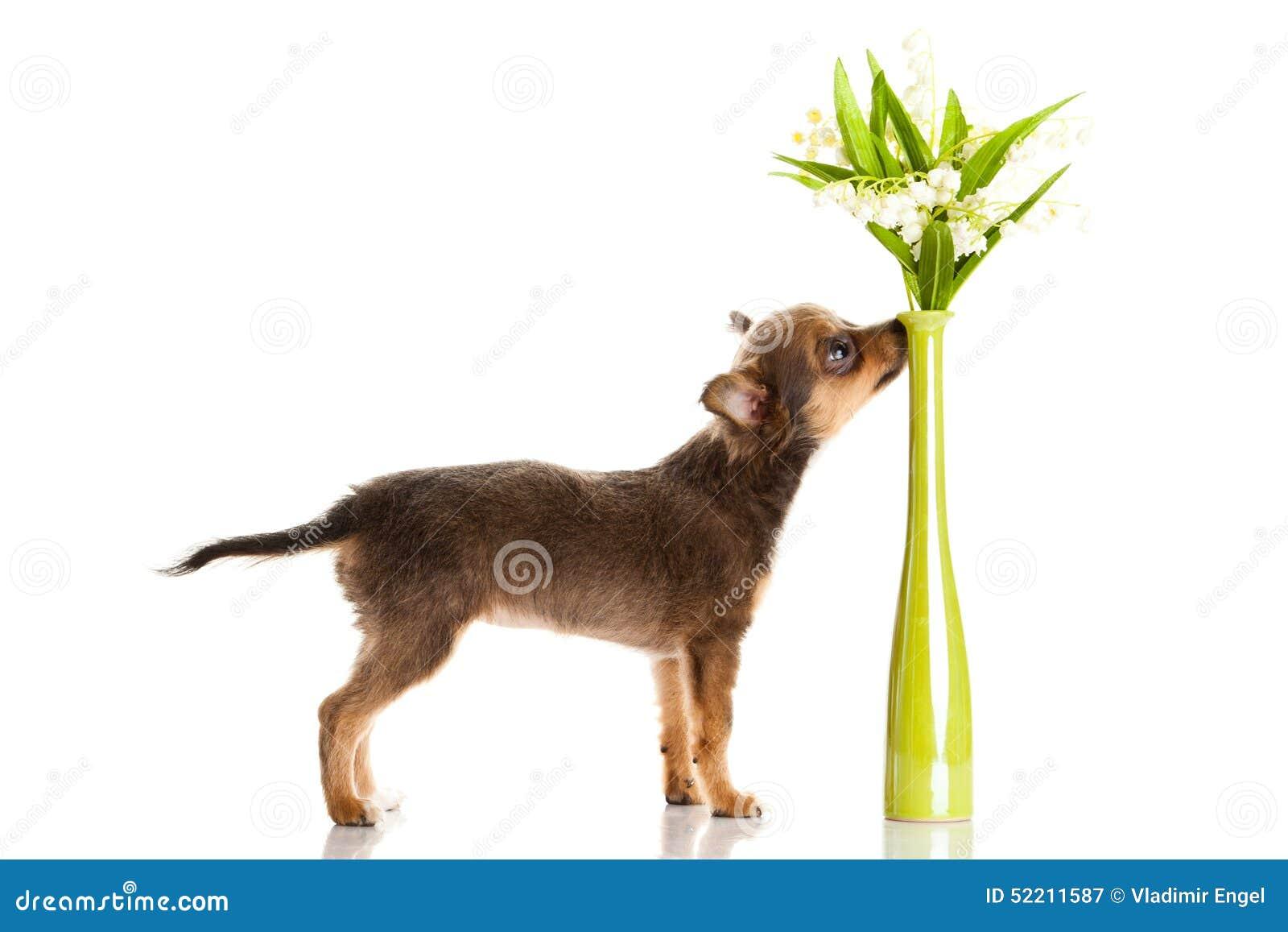 狗猩交配视频_在白色背景狗宠物创造性的工作隔绝的奇瓦瓦狗 库存图片. 图片 ...