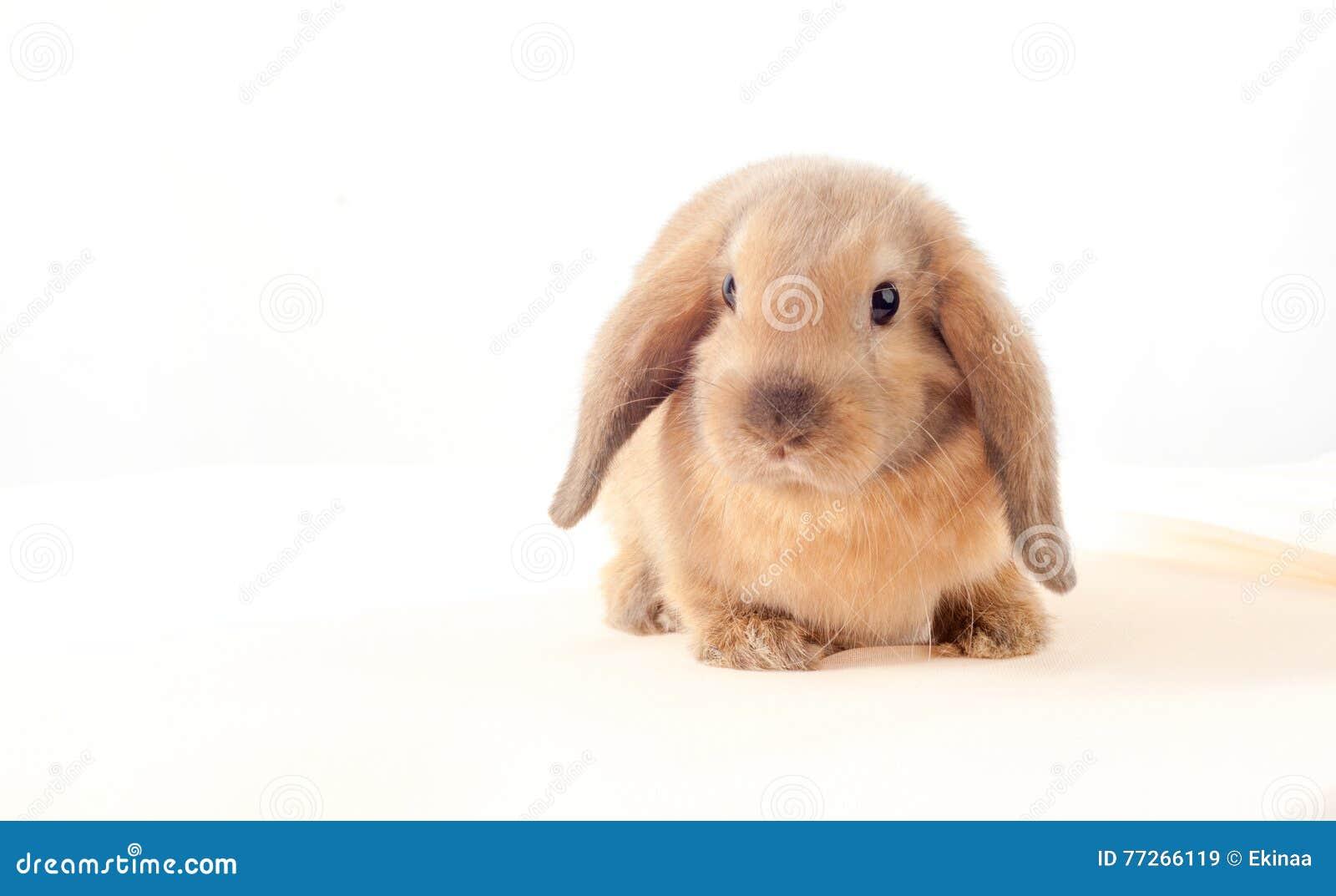 在白色背景的一点兔宝宝 小的兔子