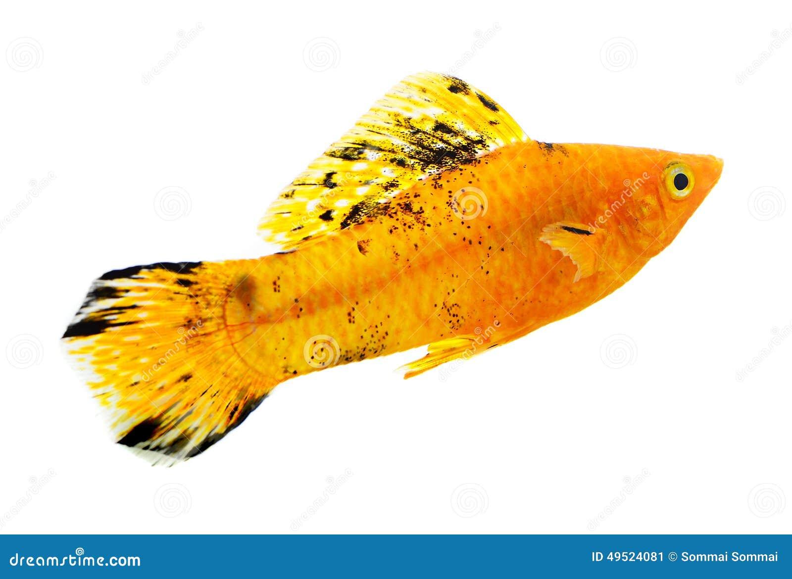 在白色背景的娘娘腔的男人鱼