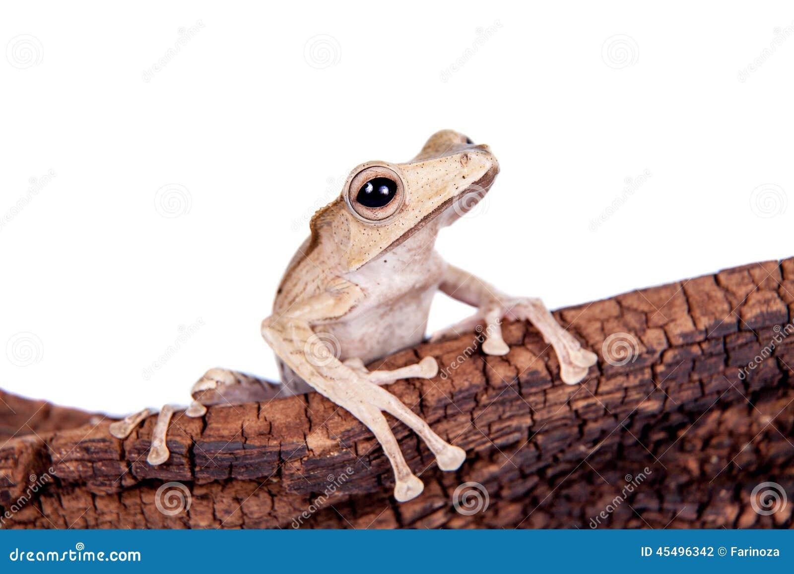 在白色背景的婆罗洲有耳的青蛙