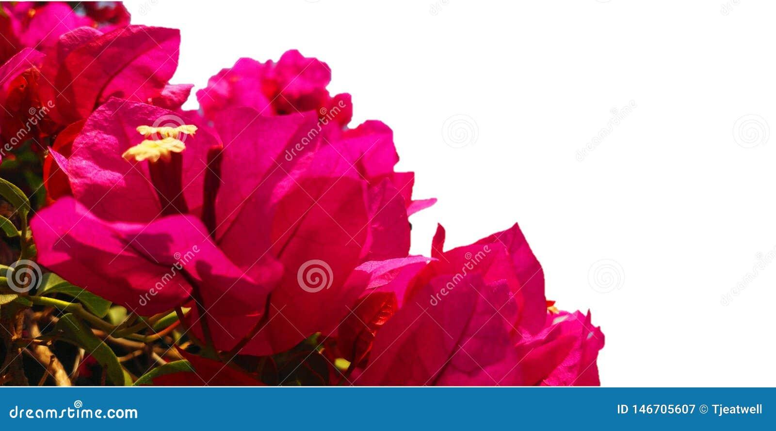 在白色背景的明亮的桃红色九重葛花