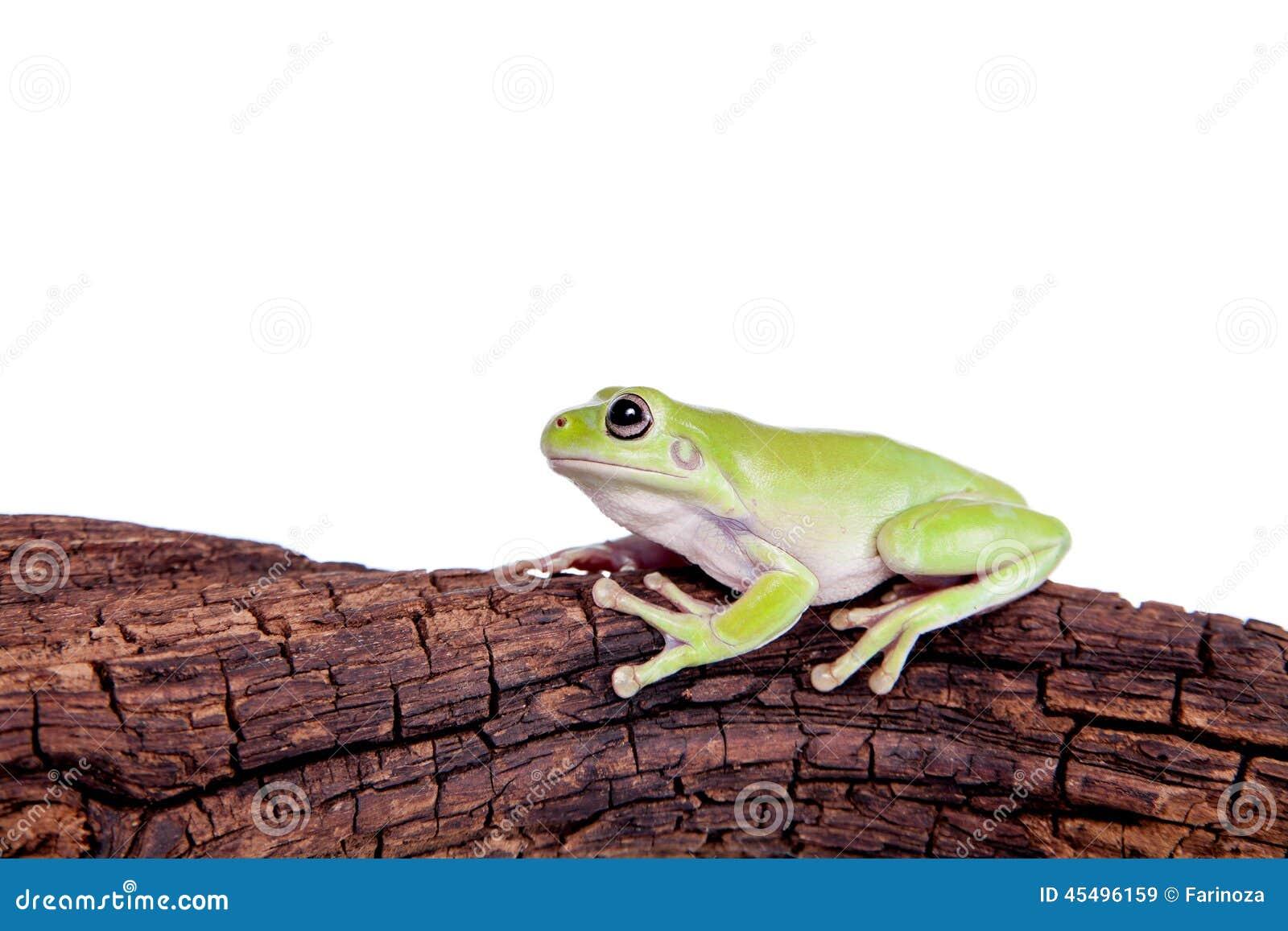 在白色背景的澳大利亚绿色雨蛙