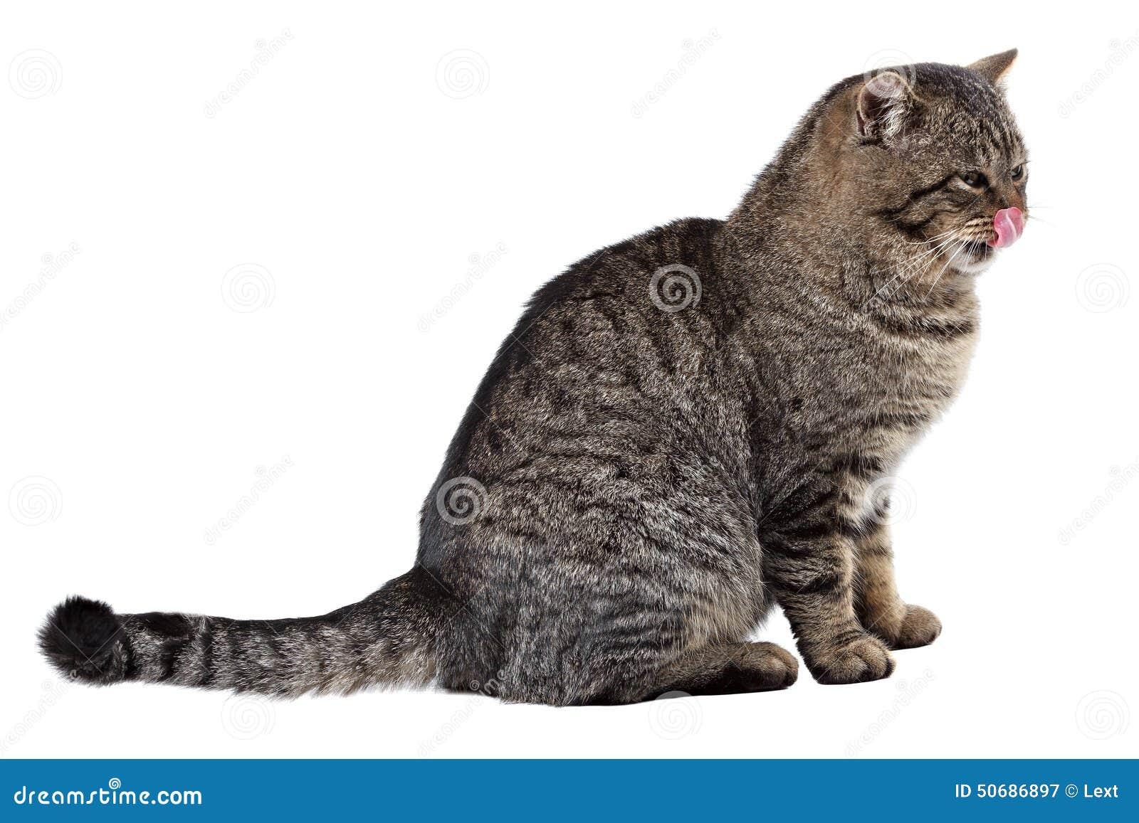 Download 在白色背景的灰色猫舔他的鼻子 查出 库存图片. 图片 包括有 国内, 他的, 敬慕, 冲程, 毛皮, 耳朵 - 50686897