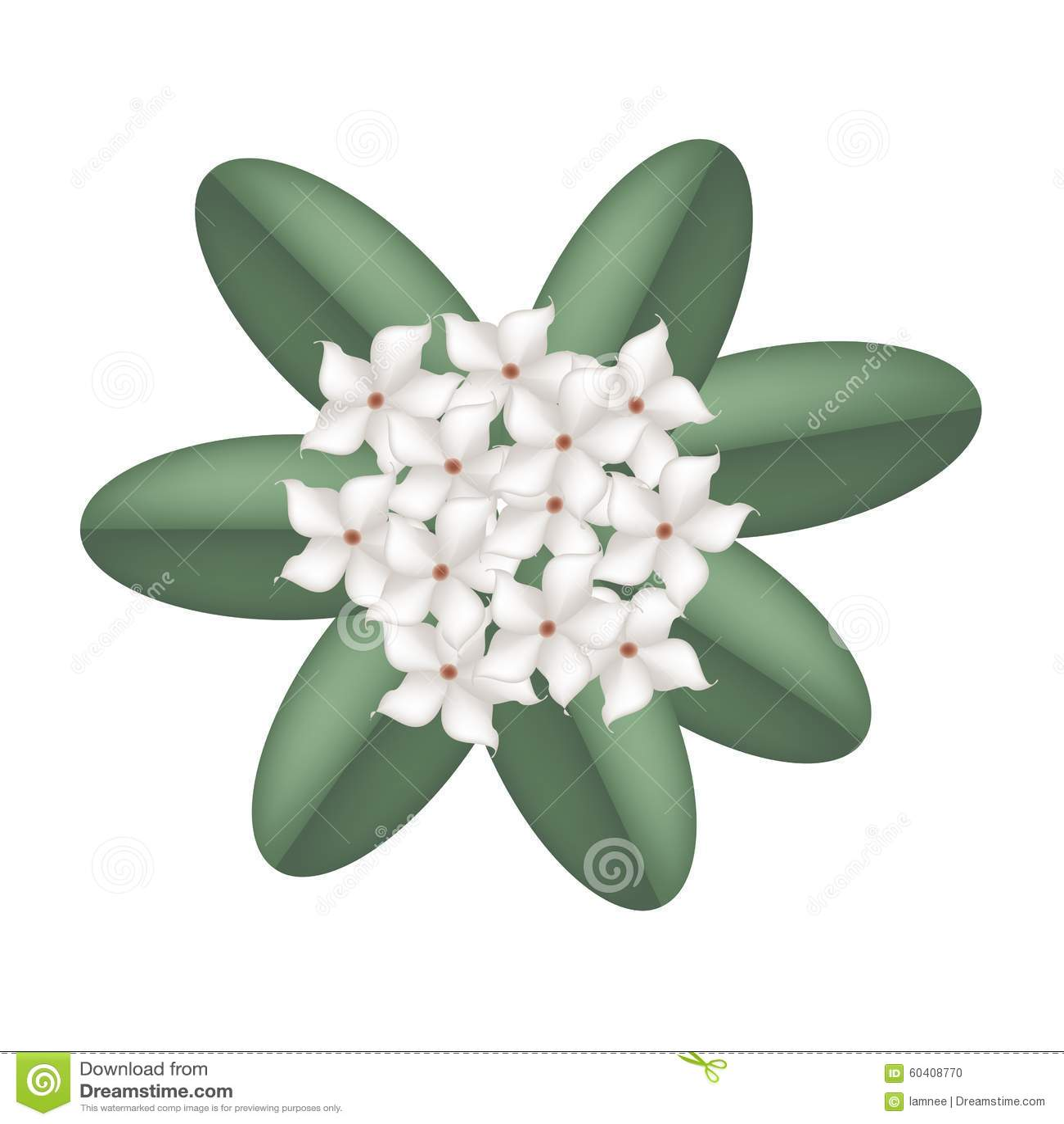 在白色背景的白色马达加斯加茉莉花花