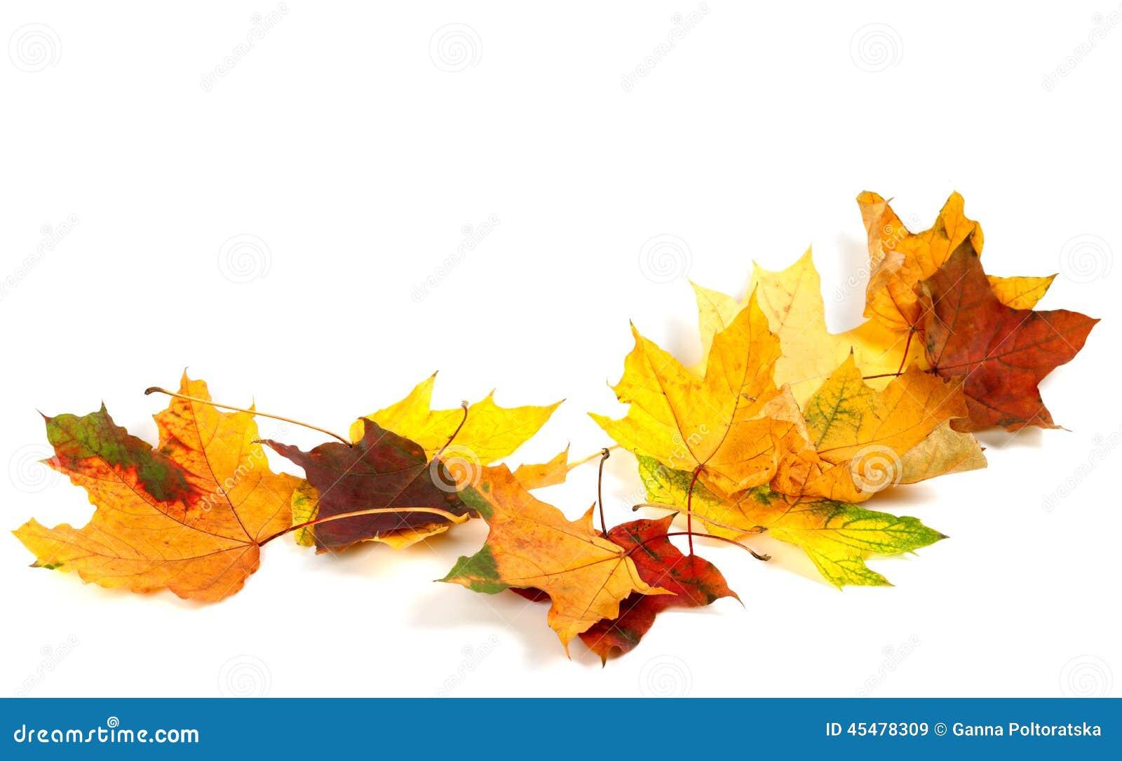 在白色背景的秋天干燥枫叶