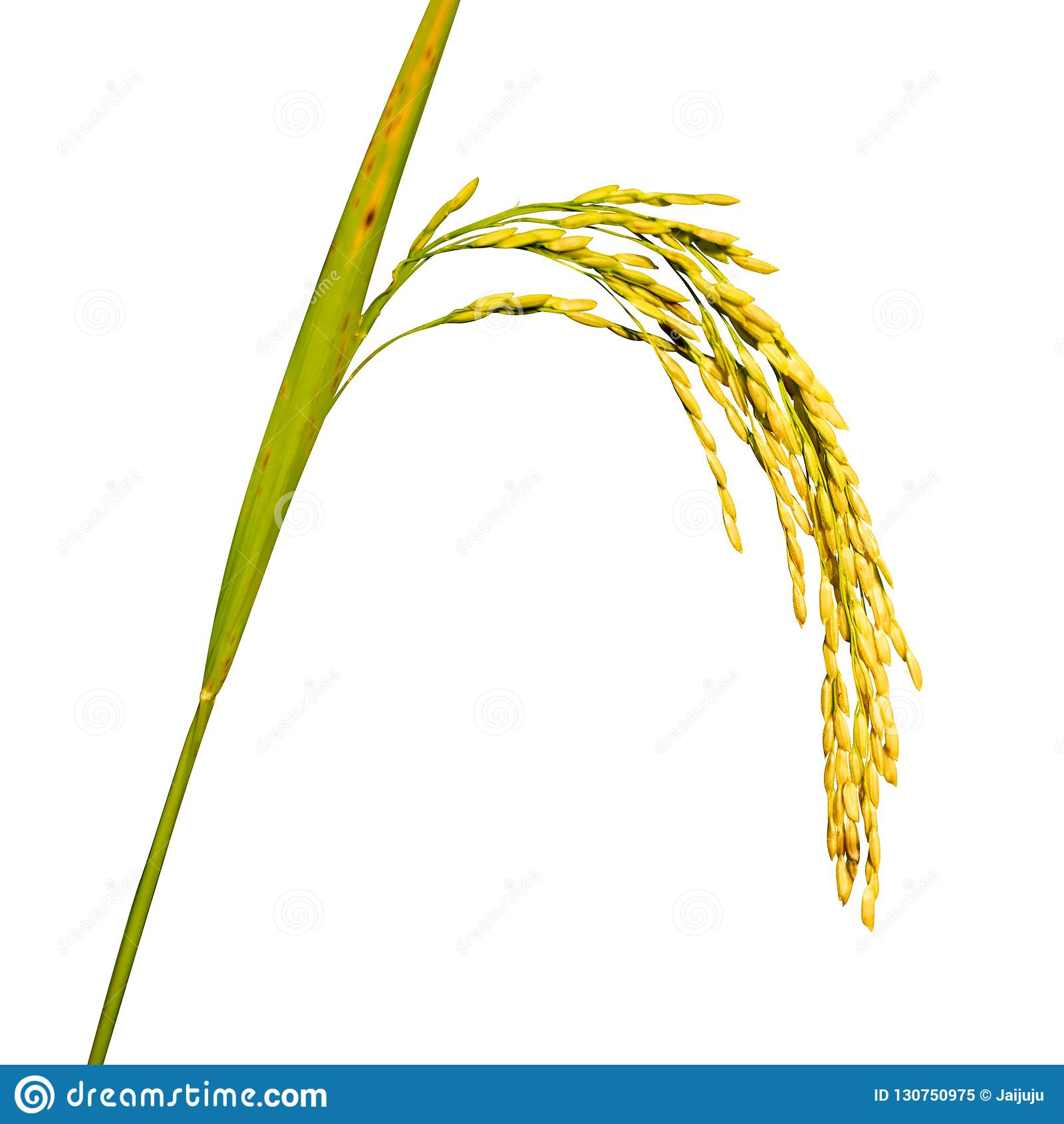 在白色背景的稻黄色粮食作物孤立
