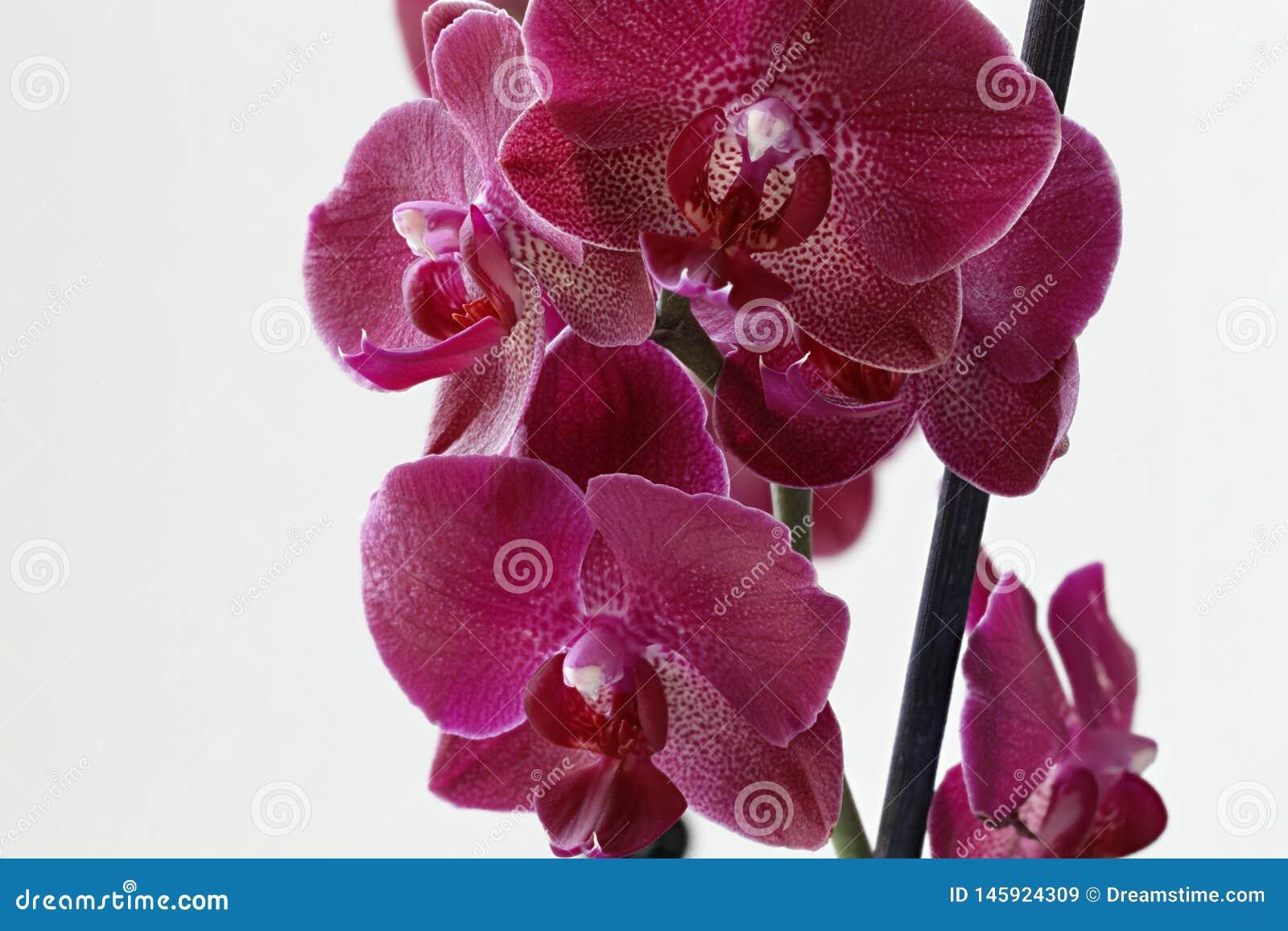 在白色背景的紫色兰花