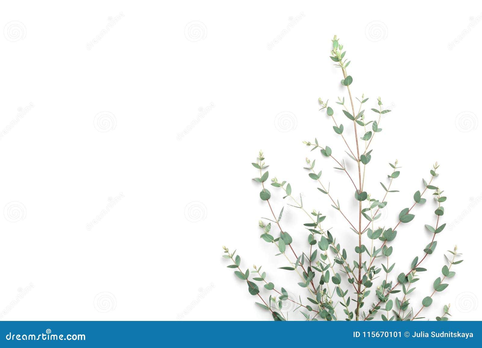 在白色背景的绿色玉树叶子 顶视图和平的位置样式