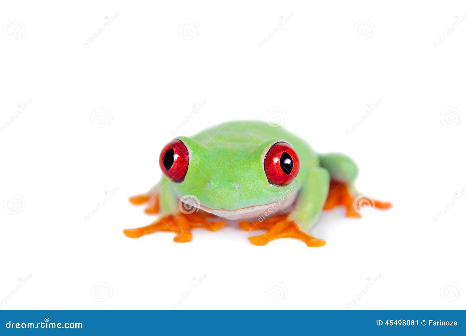 在白色背景的美丽的红眼睛的雨蛙
