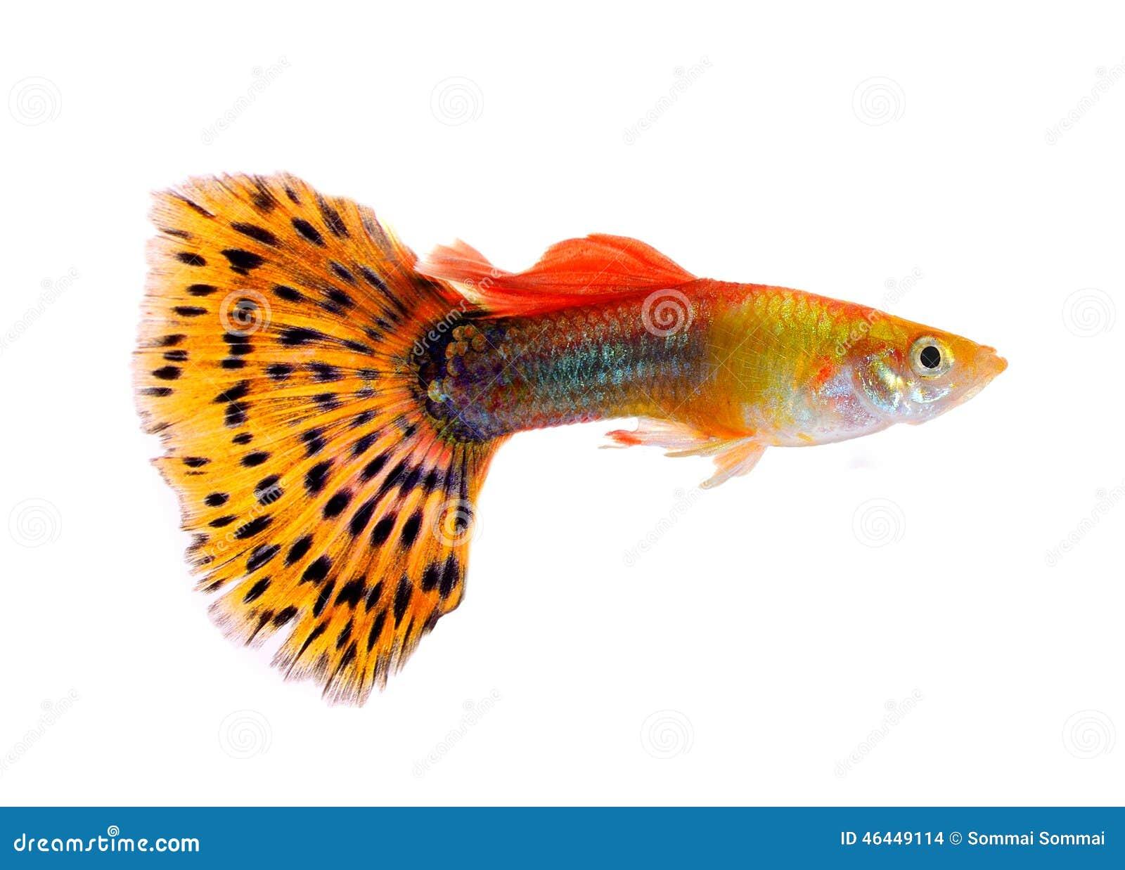 在白色背景的色彩艳丽的胎生小鱼鱼
