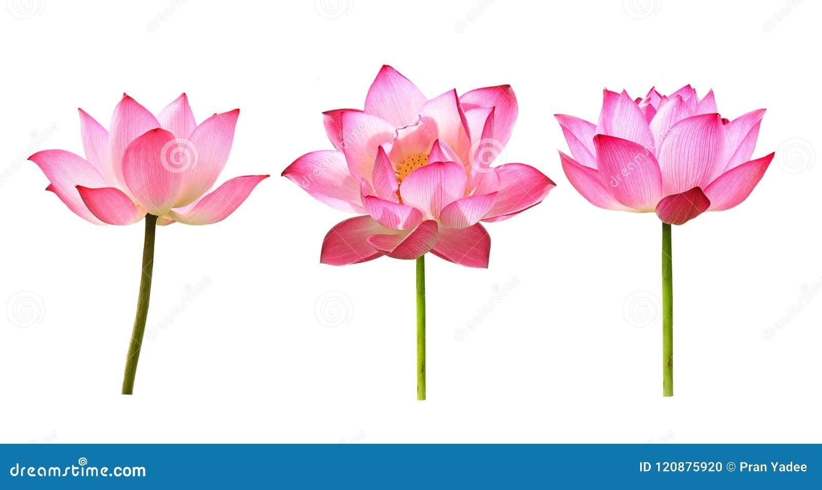 在白色背景的莲花