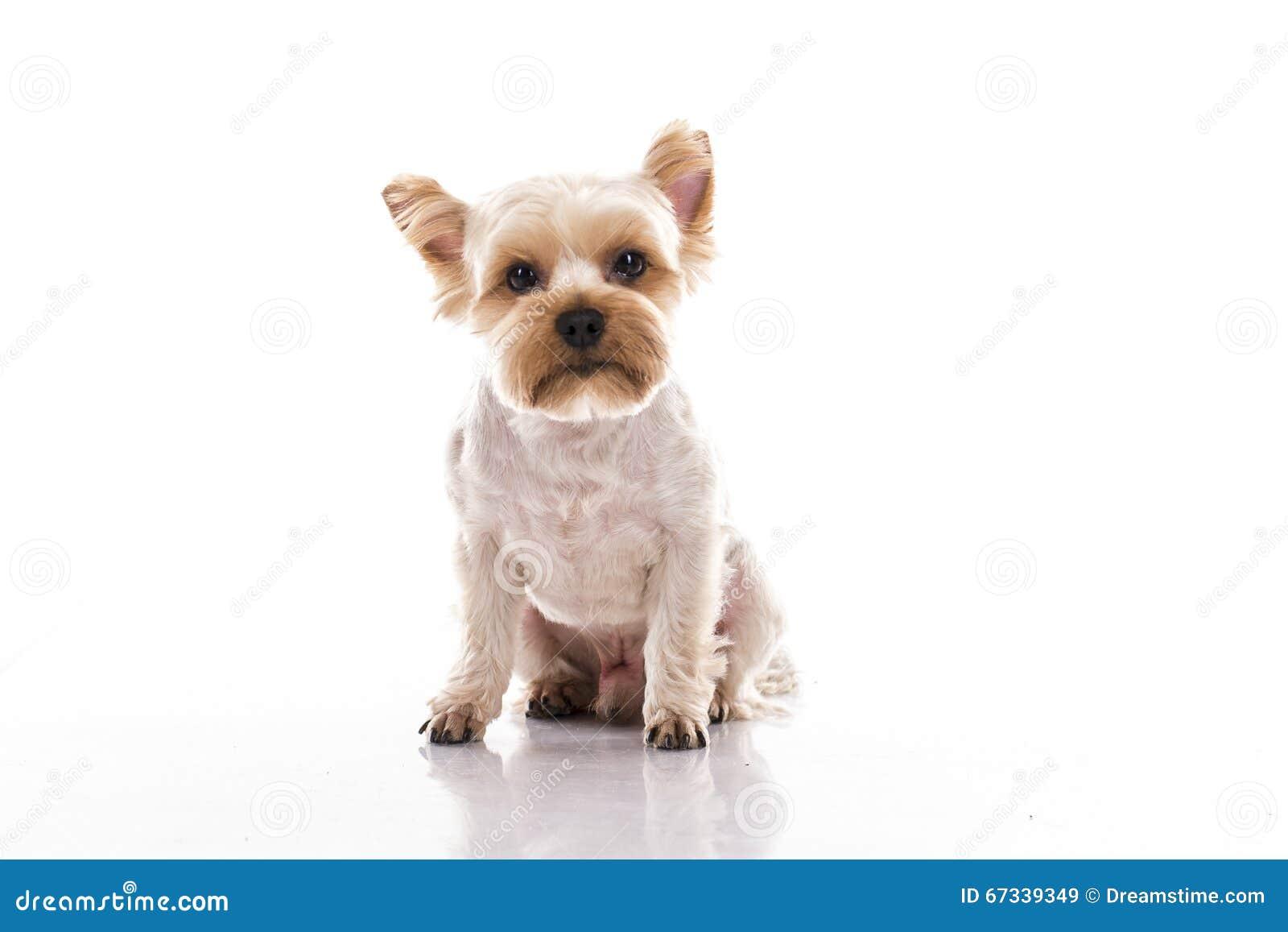 在白色背景的逗人喜爱的小犬座