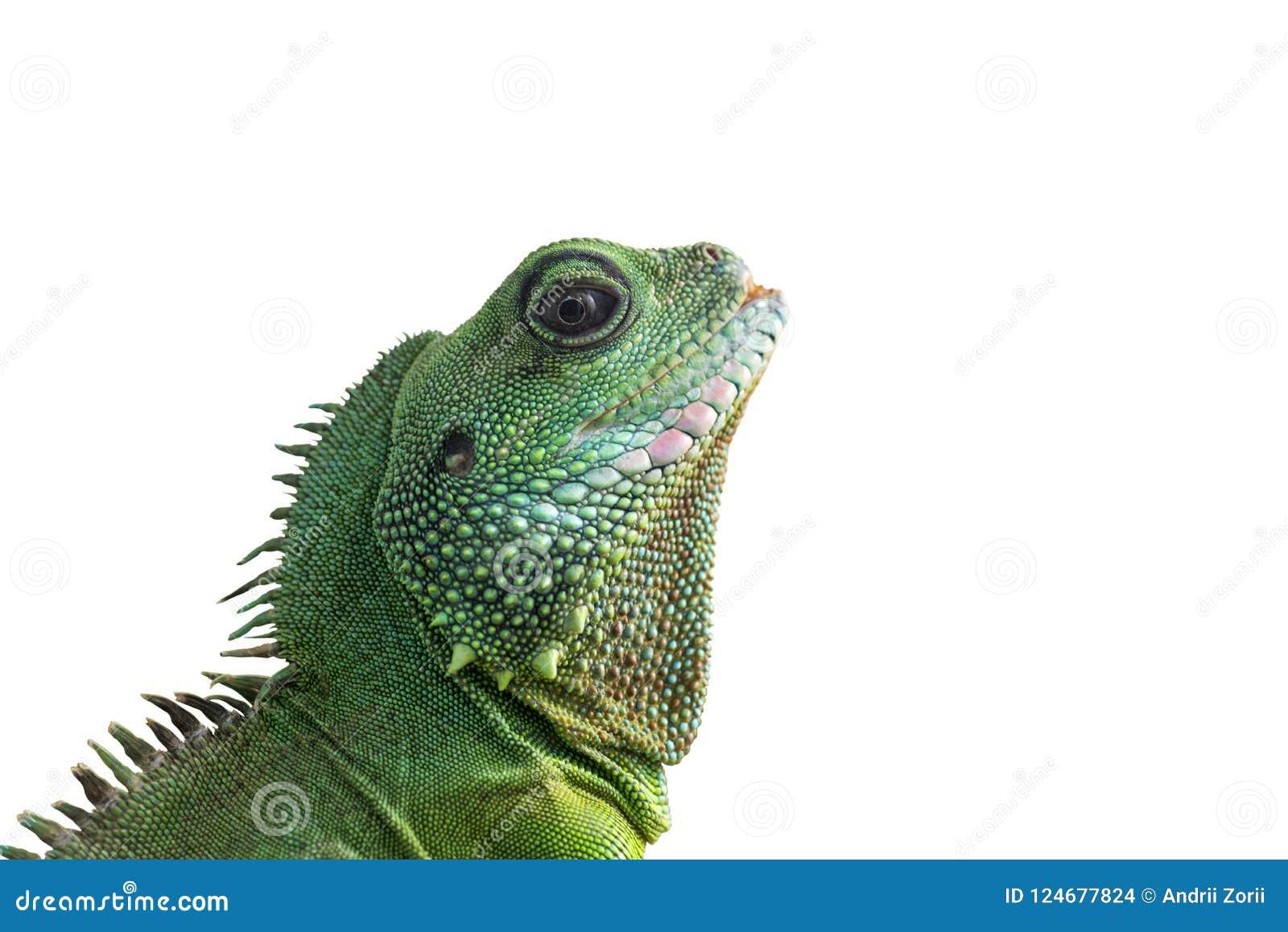 在白色背景隔绝的大鬣鳞蜥画象 有胡子的龙头的特写镜头在白色背景的