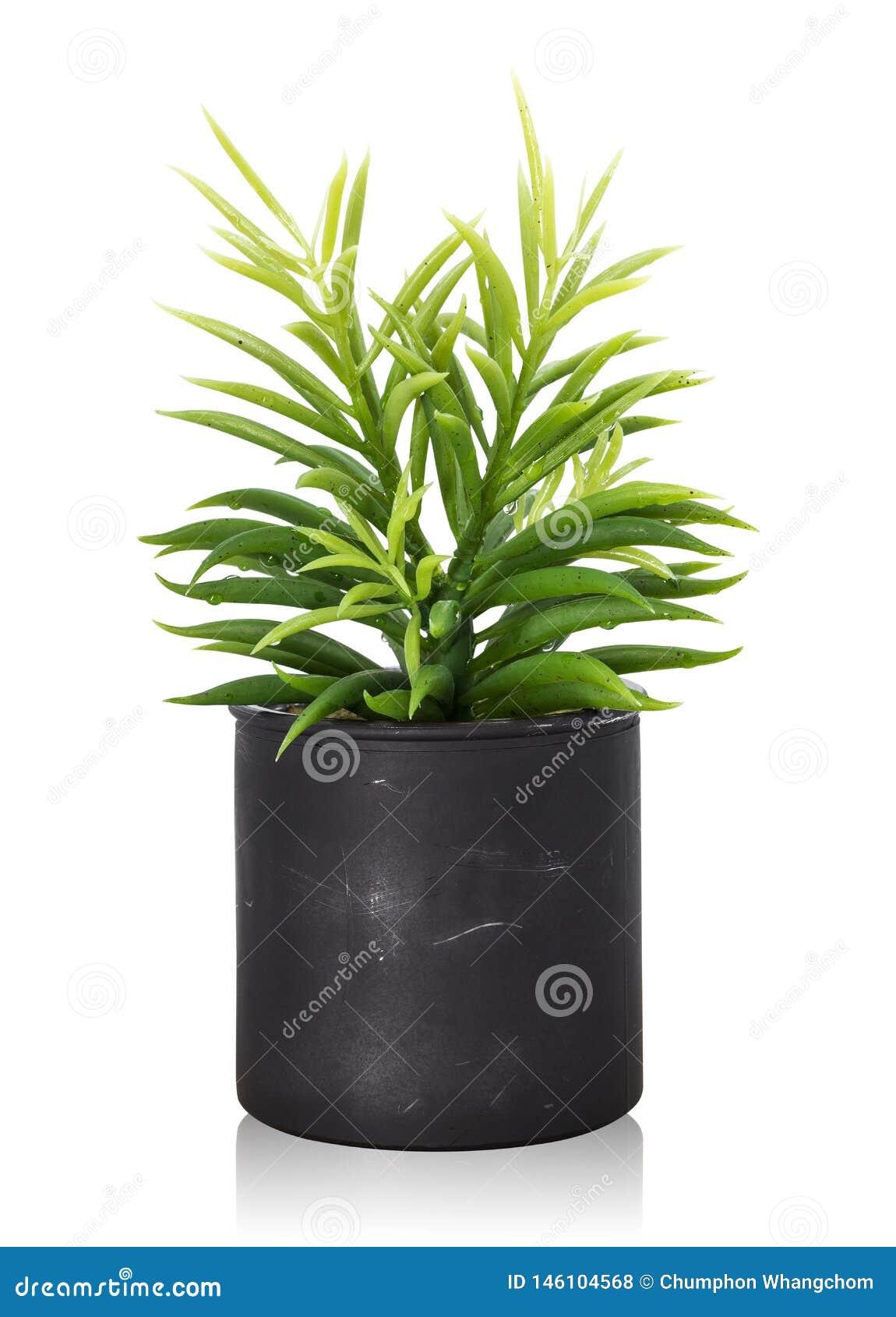在白色背景隔绝的树罐 装饰的室内植物 r