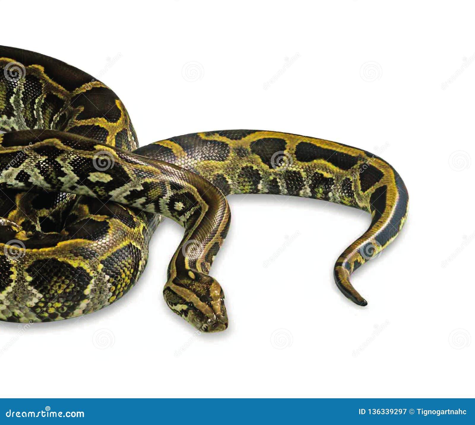 在白色背景隔绝的缅甸Python
