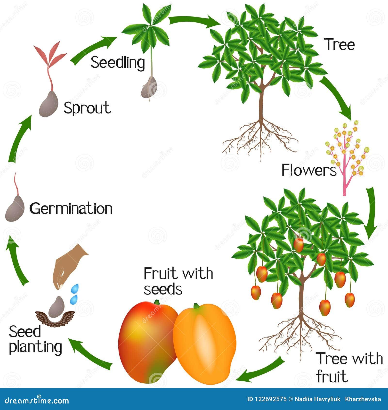 在白色背景隔绝的芒果植物生长的周期图片