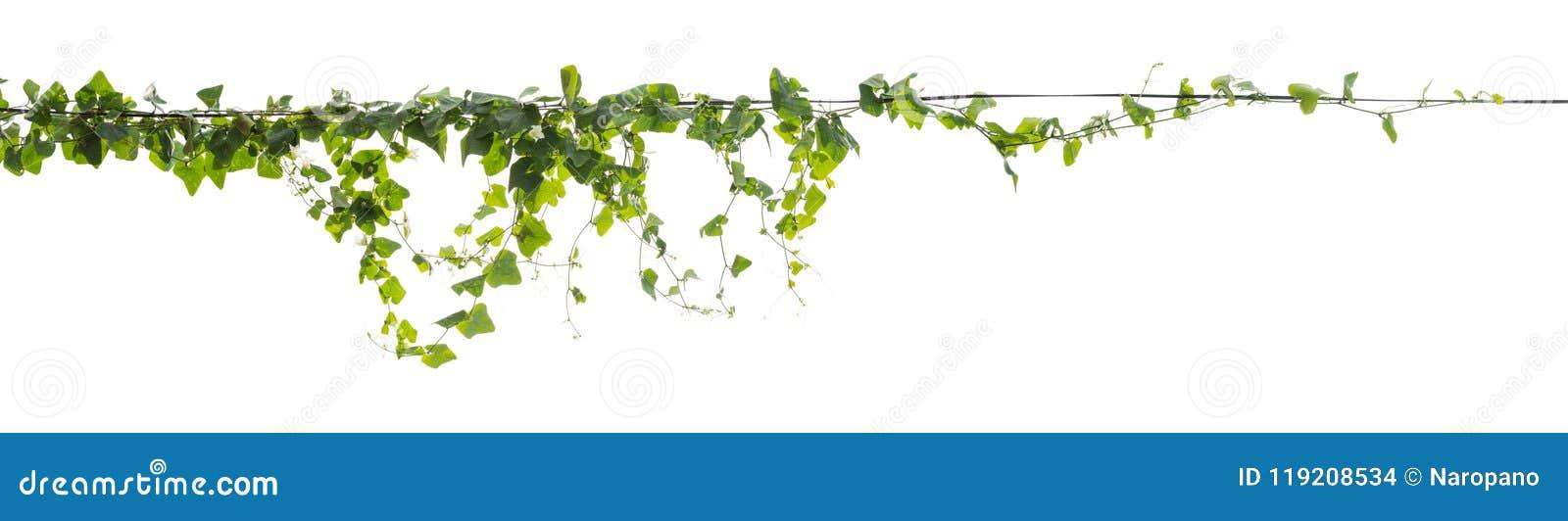 在白色背景隔绝的藤植物上升