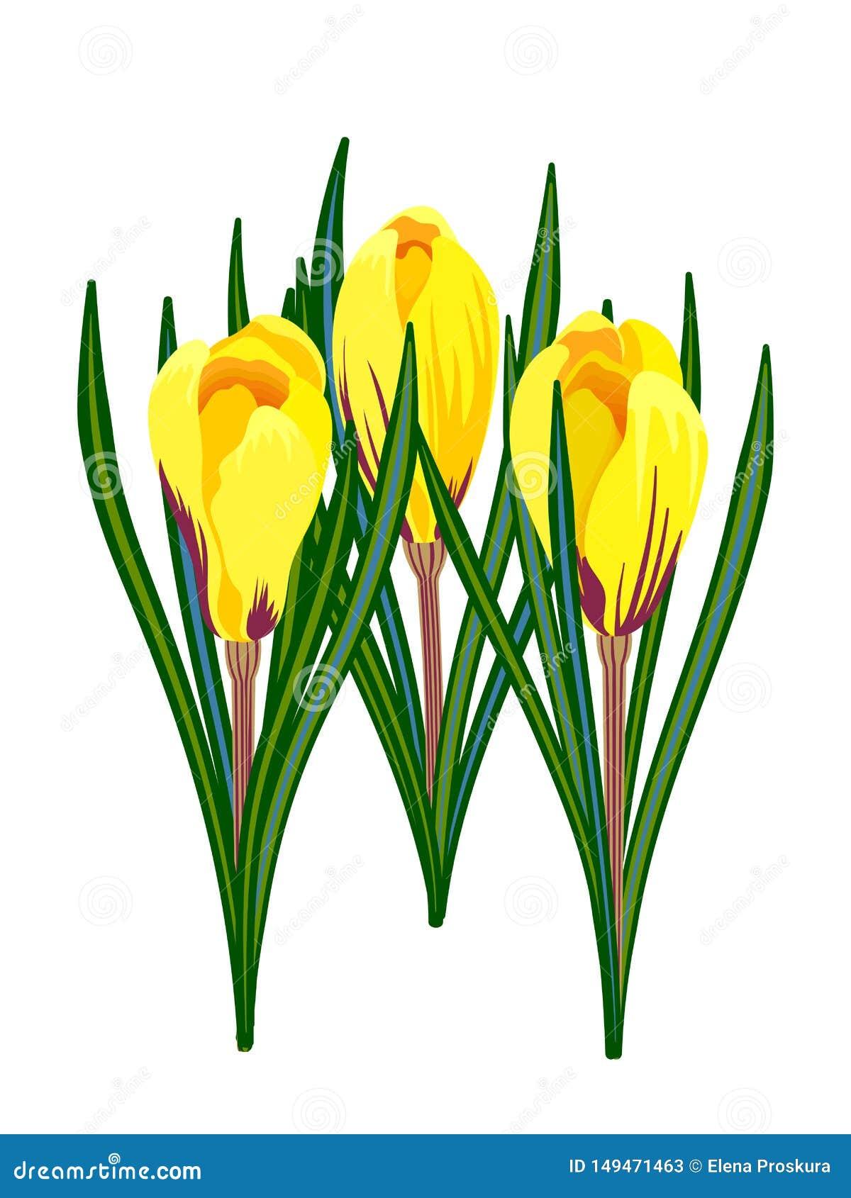 在白色背景隔绝的黄色番红花