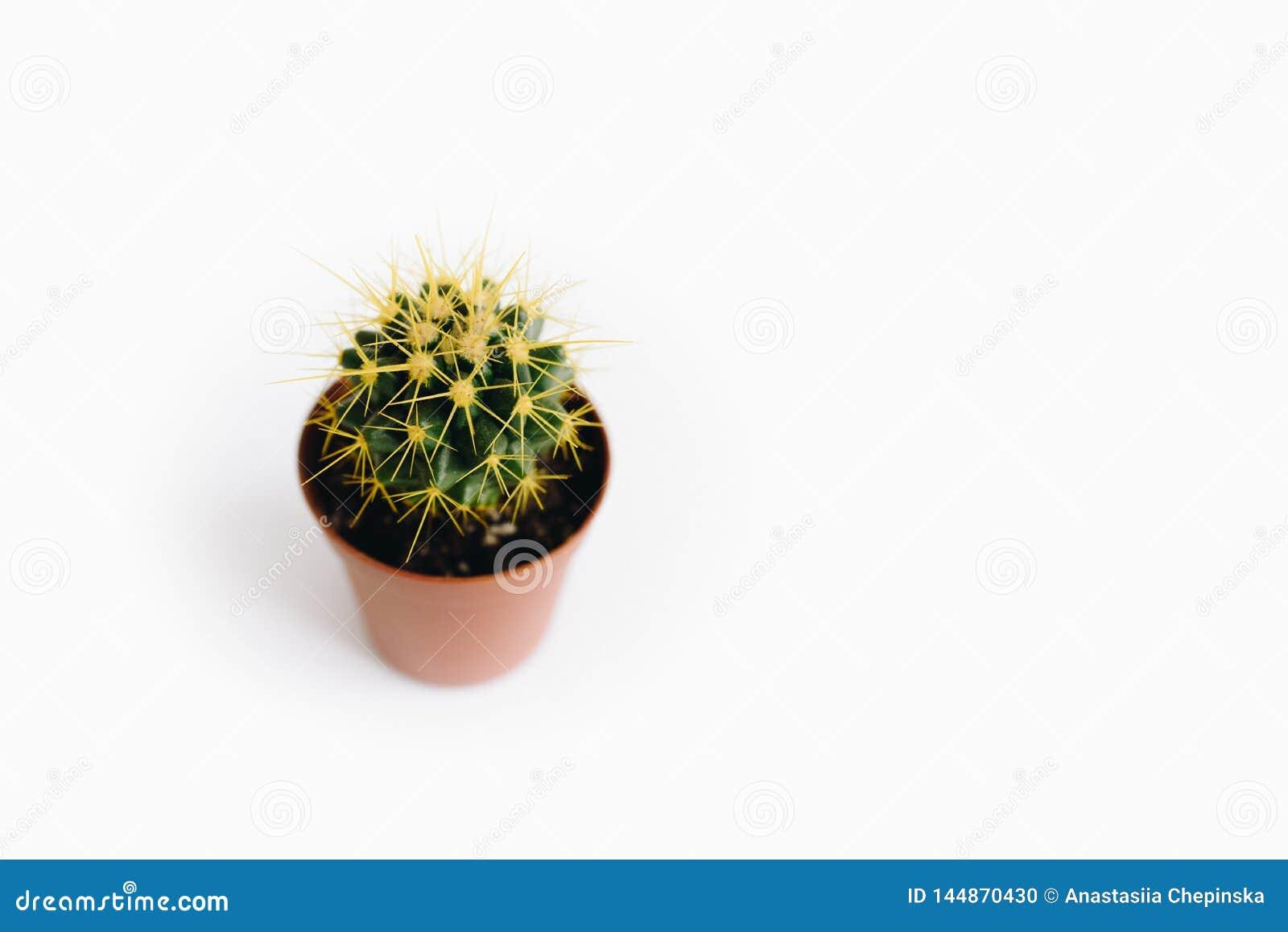 在白色背景隔绝的Echinocactus grusonii